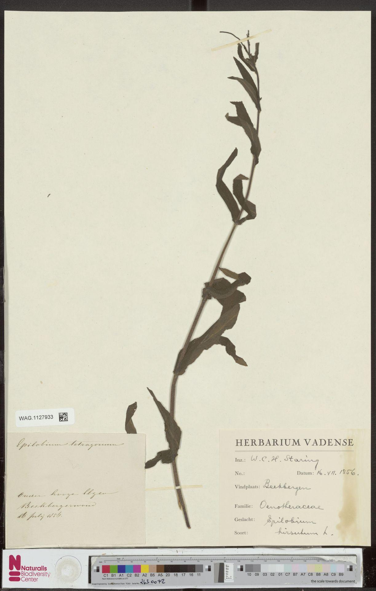 WAG.1127933 | Epilobium hirsutum L.