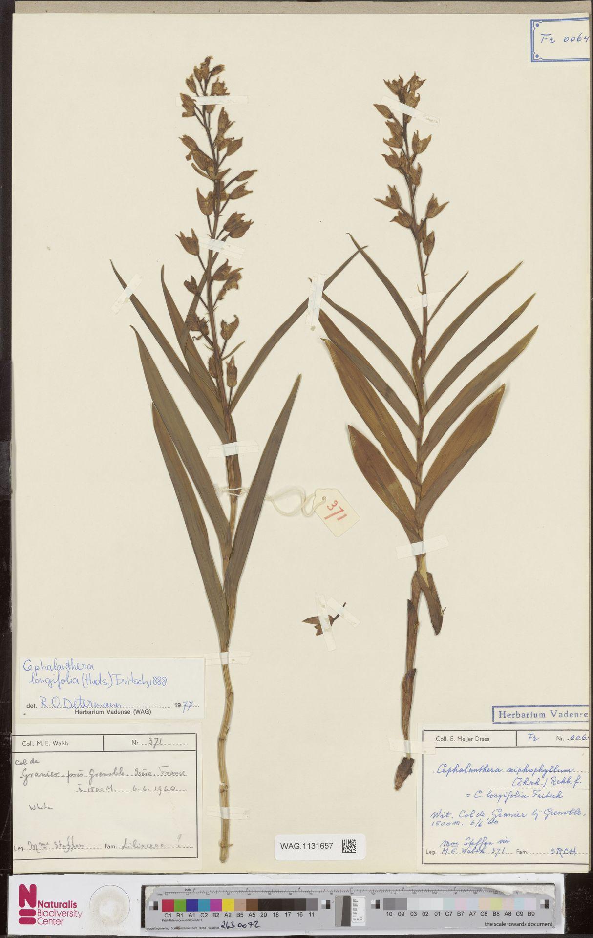 WAG.1131657   Cephalanthera longifolia (L.) Fritsch