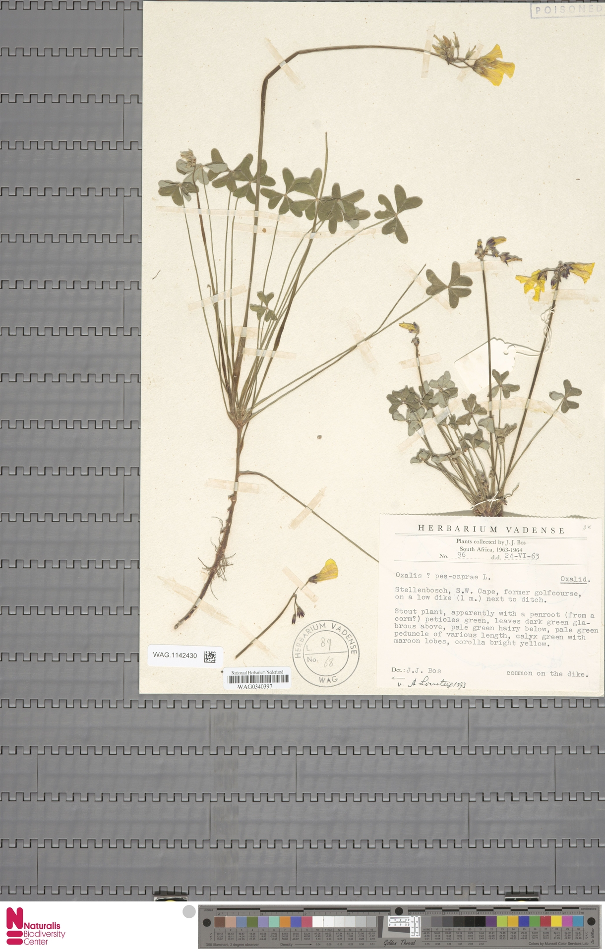 WAG.1142430 | Oxalis pes-caprae L.