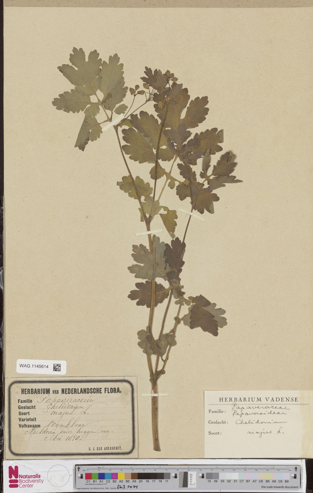 WAG.1145614 | Chelidonium majus L.