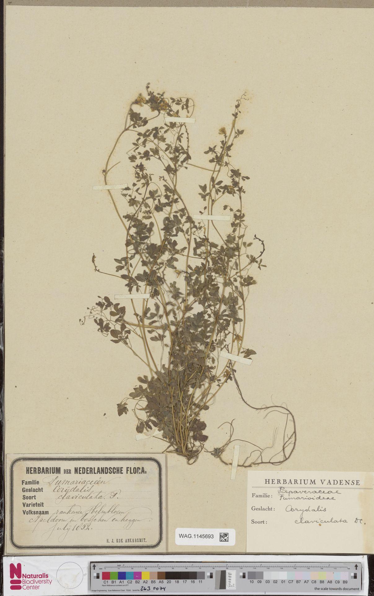 WAG.1145693 | Corydalis claviculata (L.) DC.