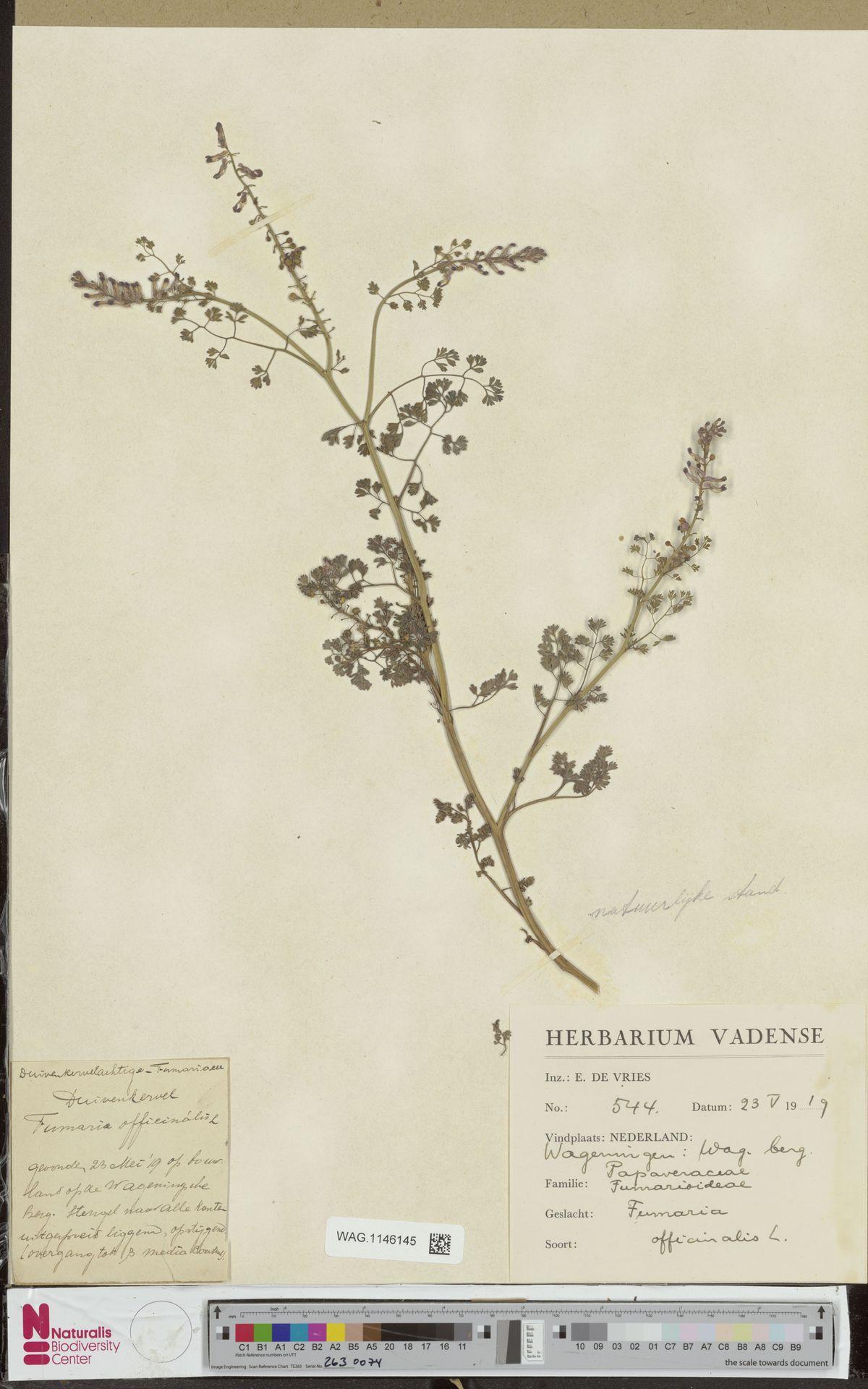 WAG.1146145 | Fumaria officinalis L.
