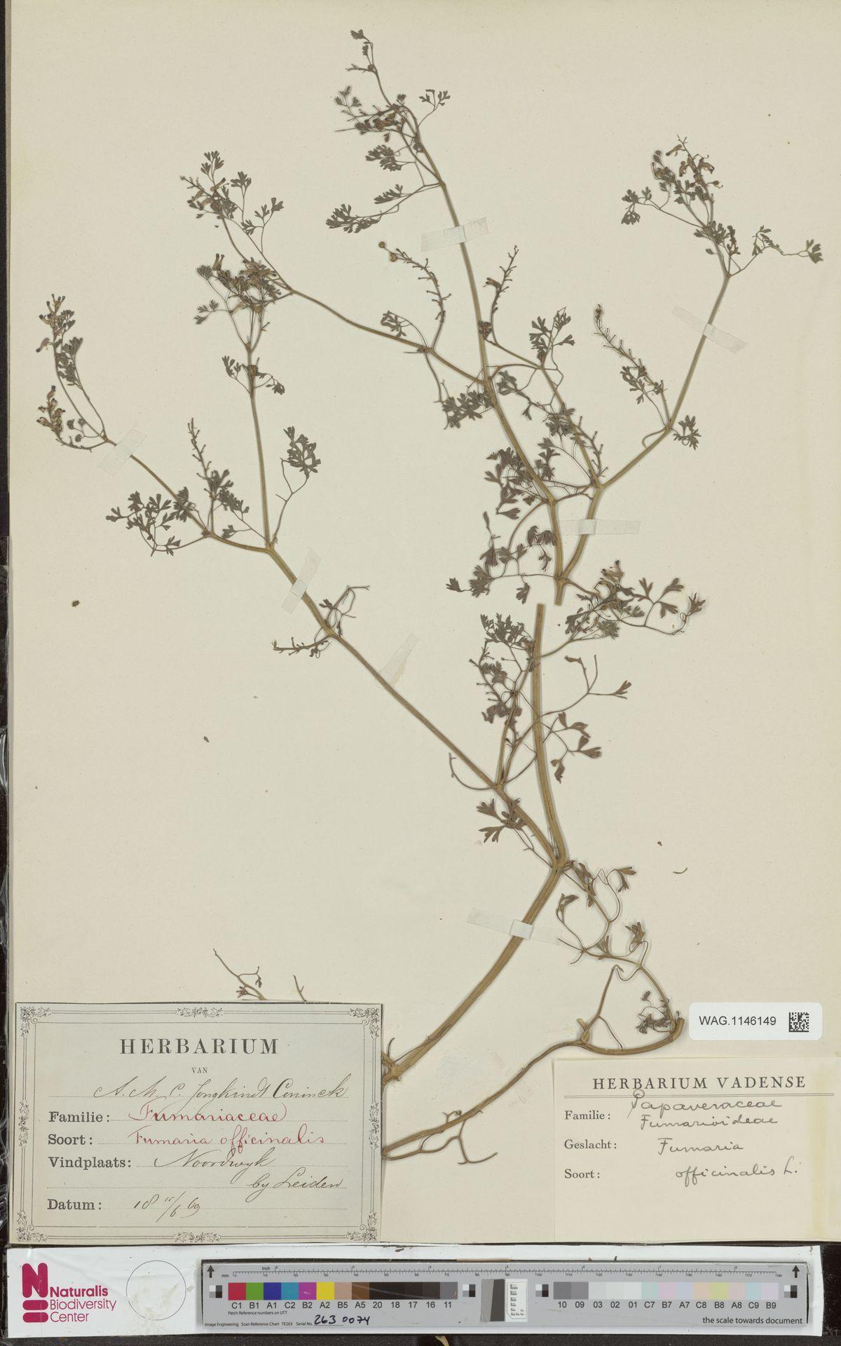 WAG.1146149 | Fumaria officinalis L.