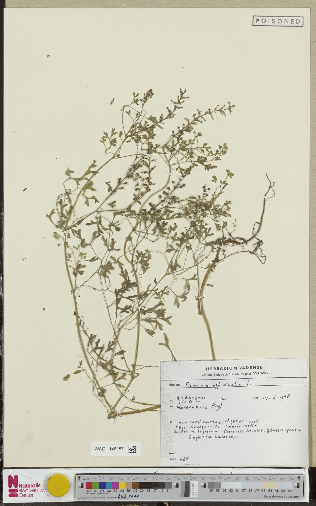 WAG.1146157   Fumaria officinalis L.