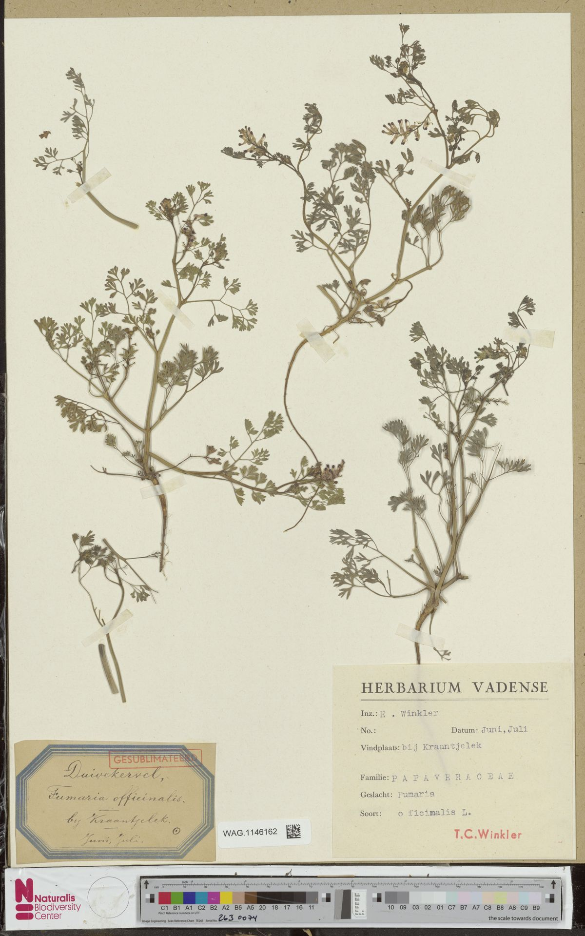 WAG.1146162   Fumaria officinalis L.