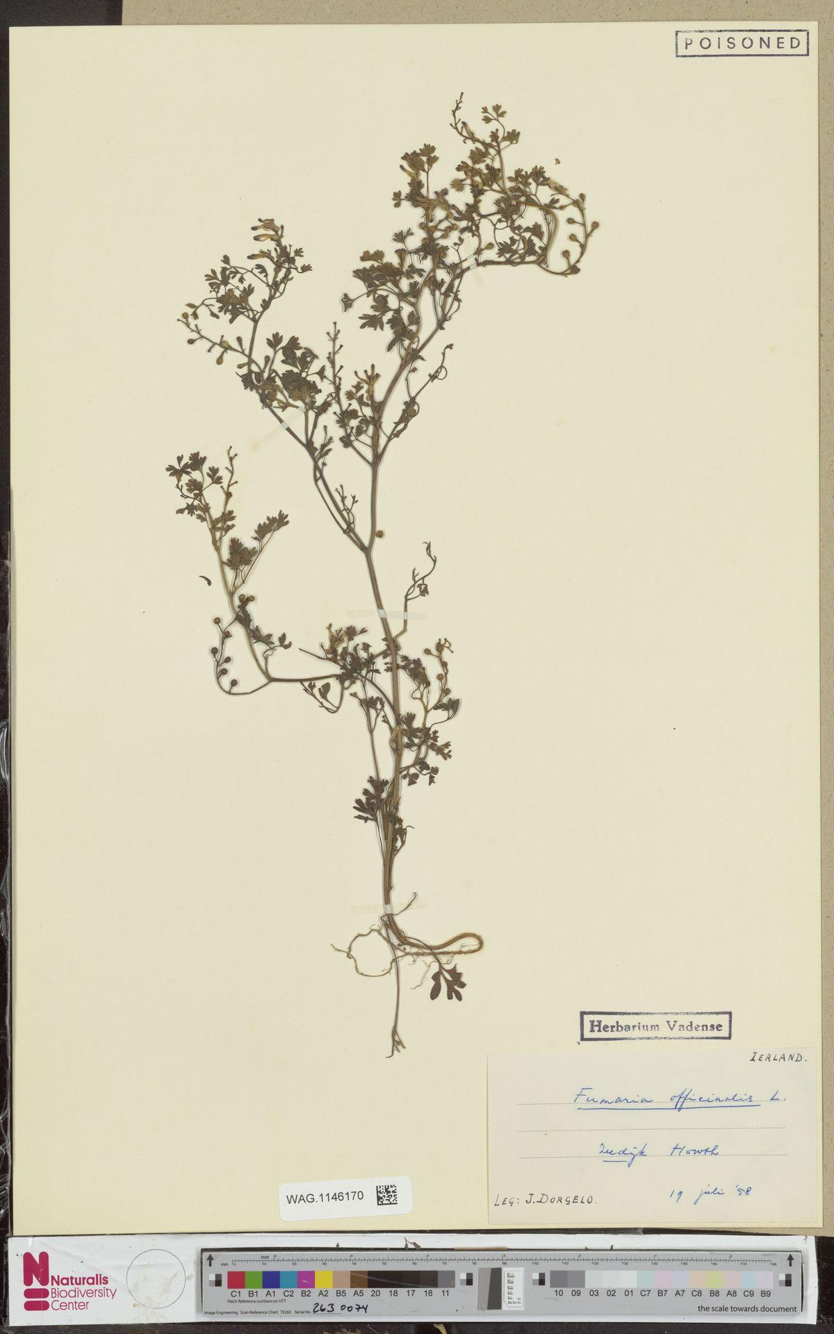 WAG.1146170 | Fumaria officinalis L.