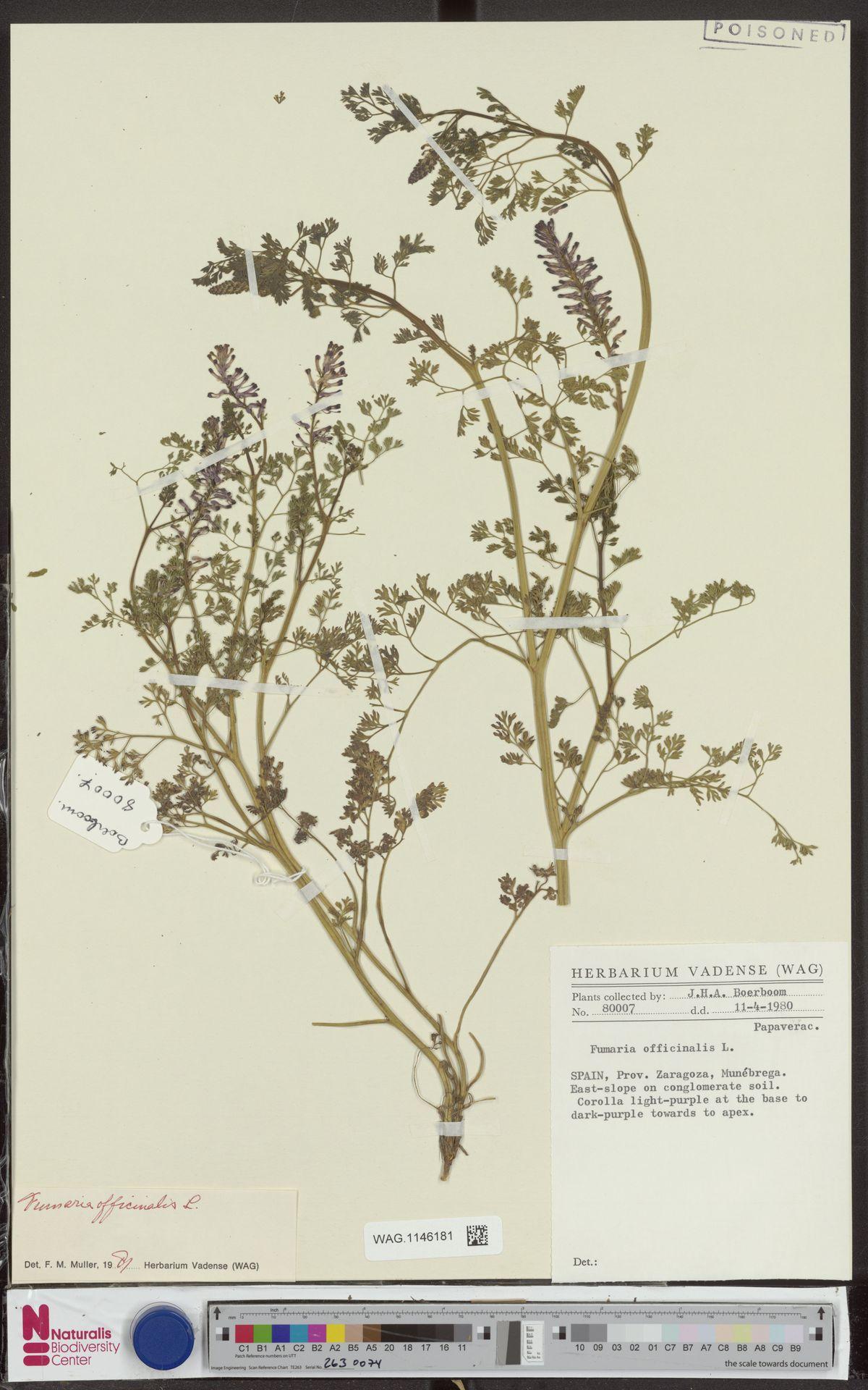 WAG.1146181 | Fumaria officinalis L.