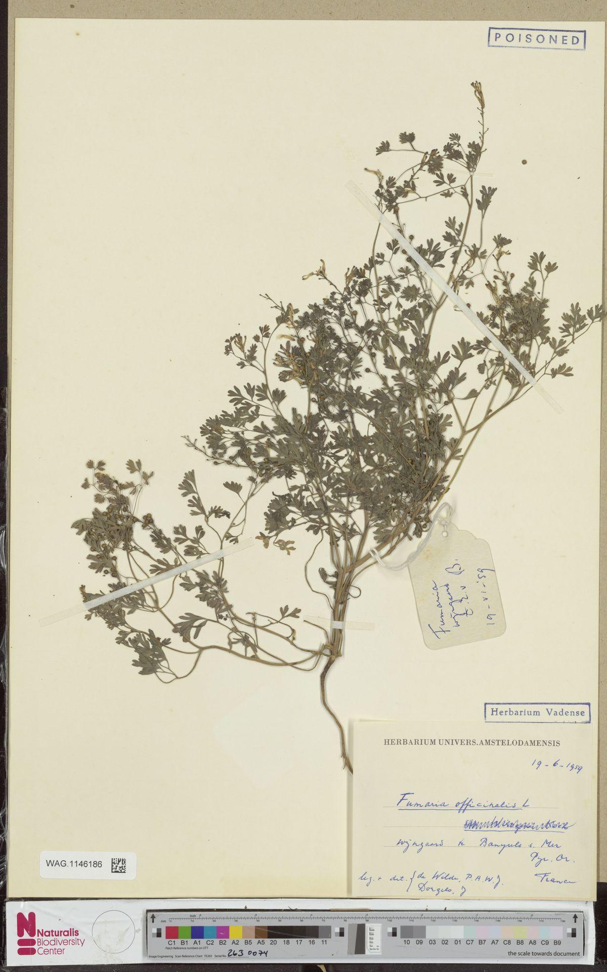 WAG.1146186 | Fumaria officinalis L.