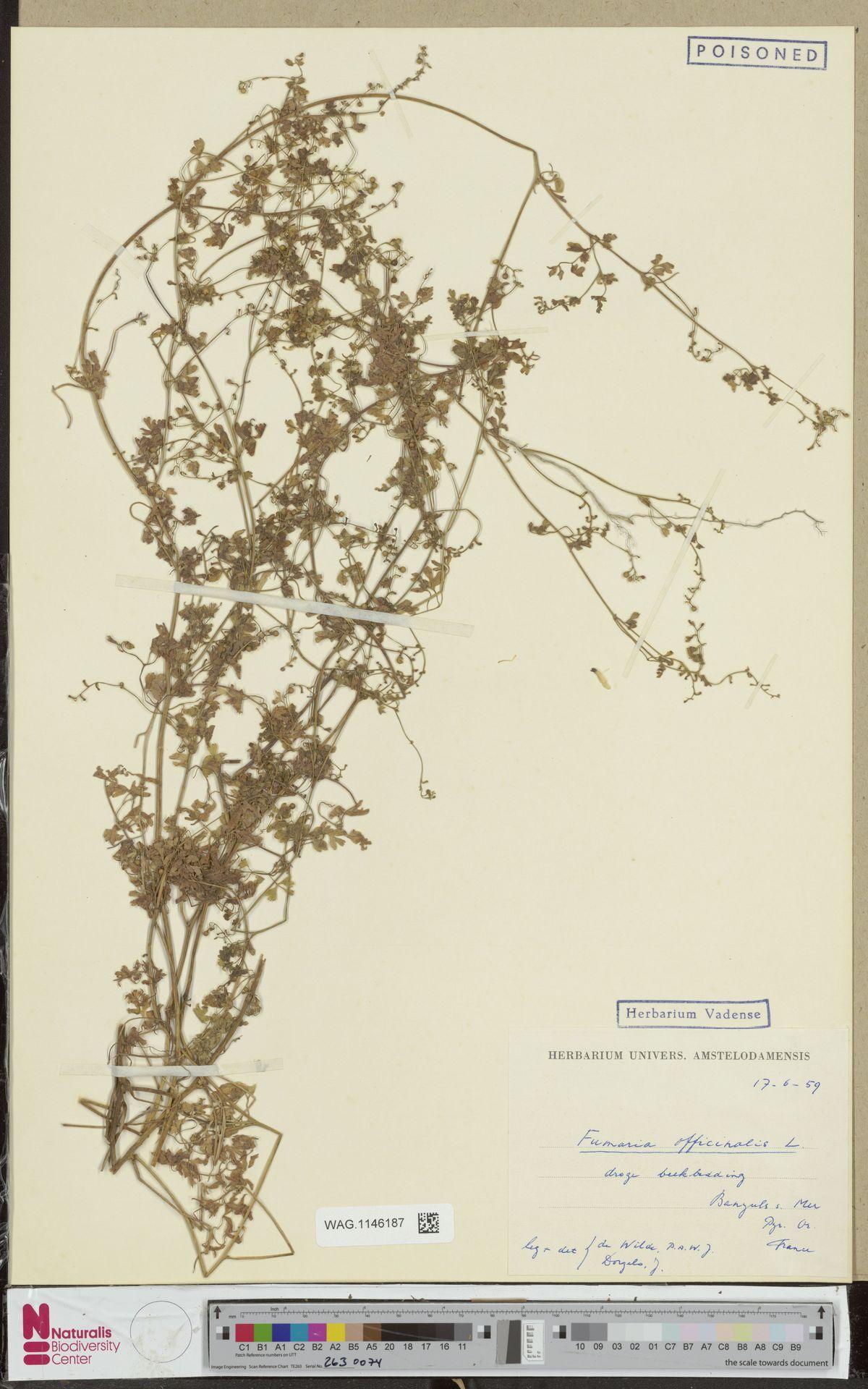 WAG.1146187 | Fumaria officinalis L.