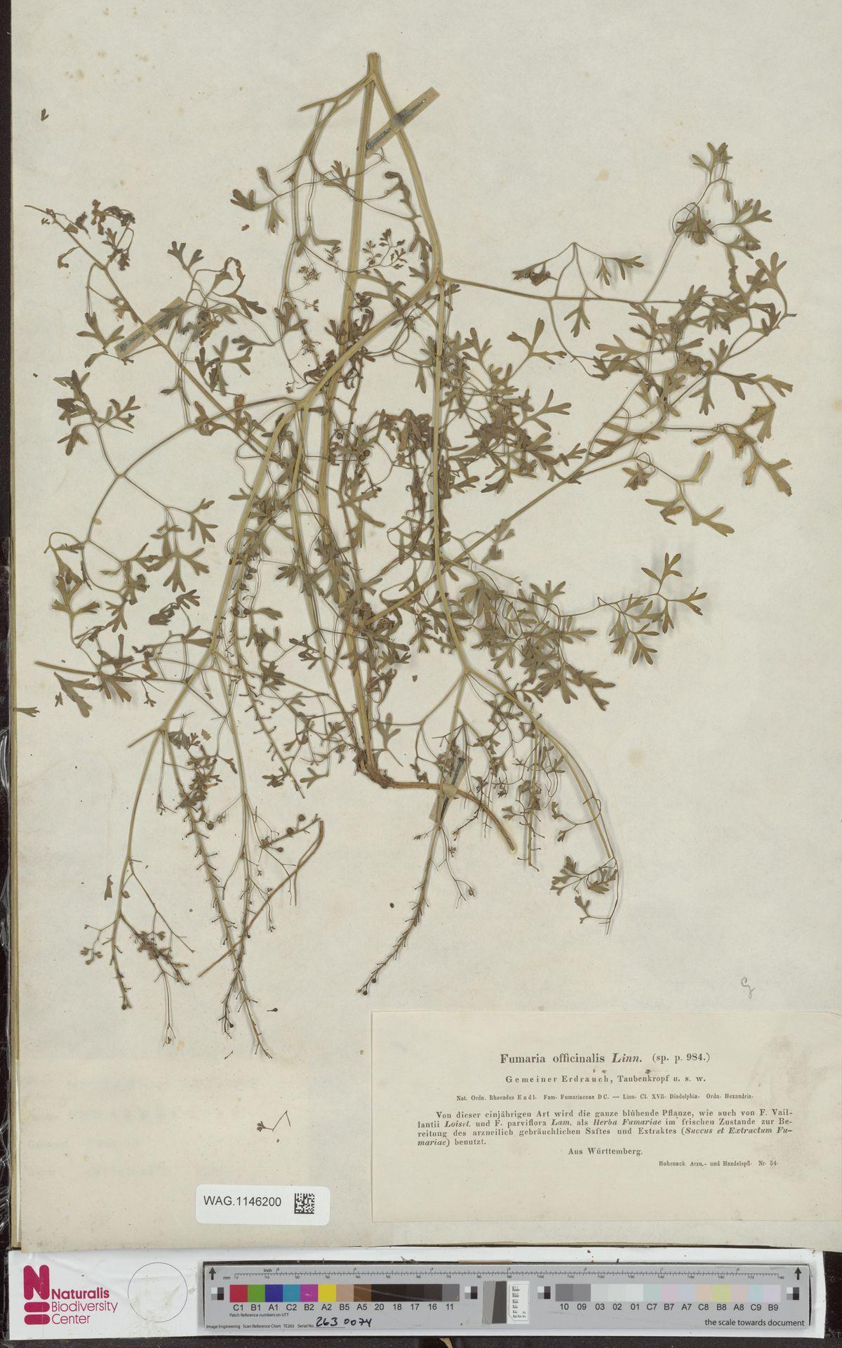 WAG.1146200 | Fumaria officinalis L.