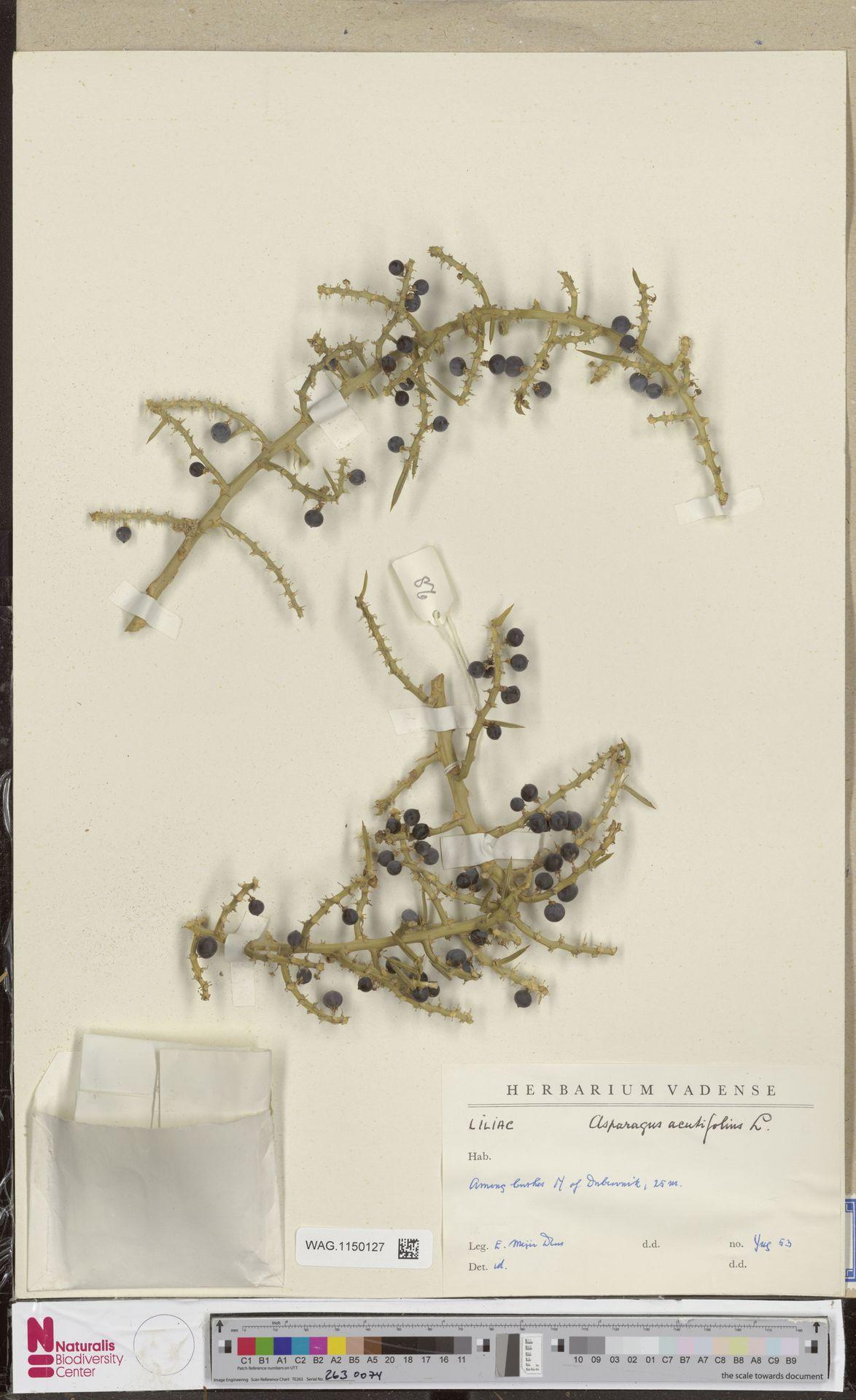 WAG.1150127 | Asparagus acutifolius L.