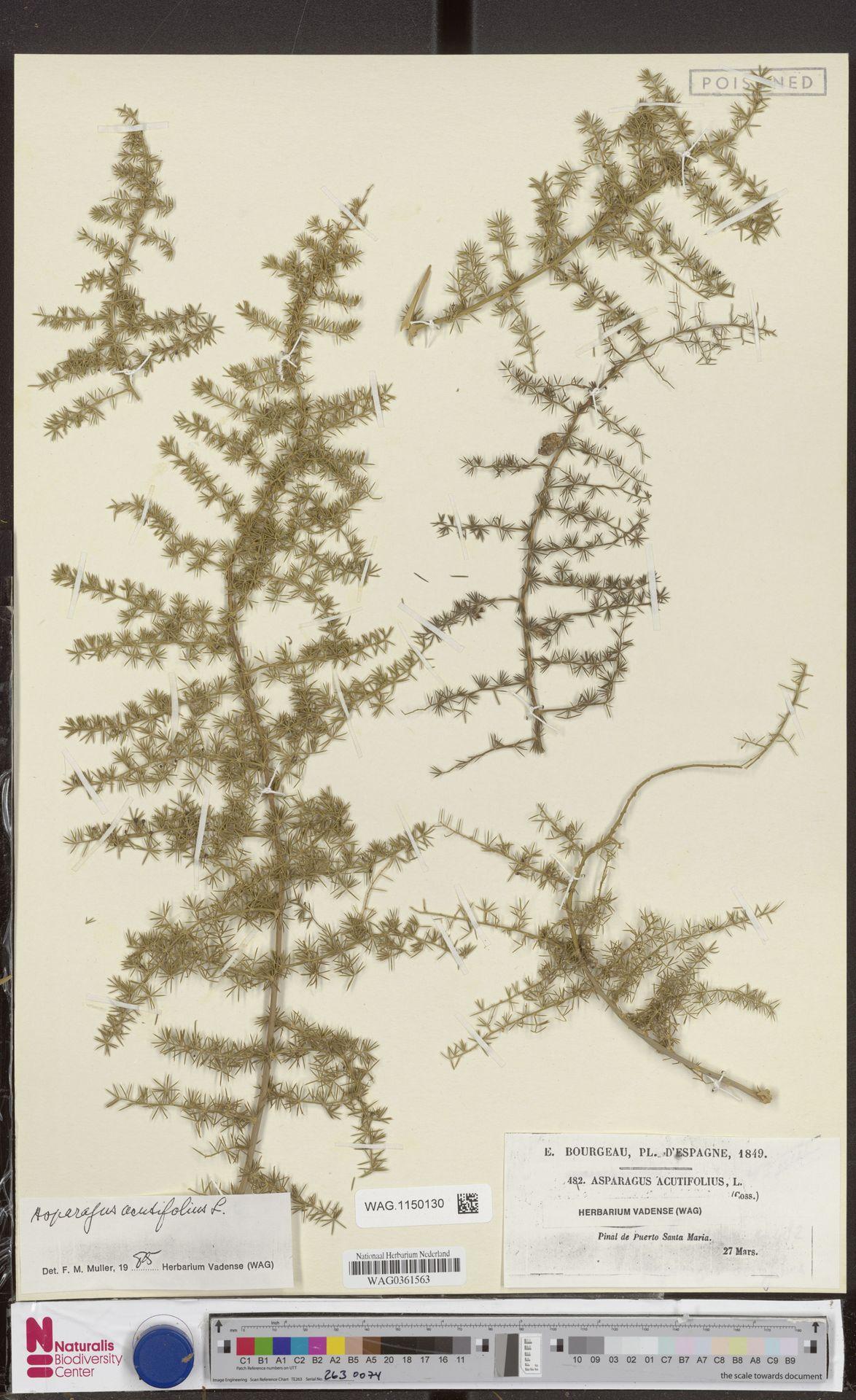 WAG.1150130 | Asparagus acutifolius L.