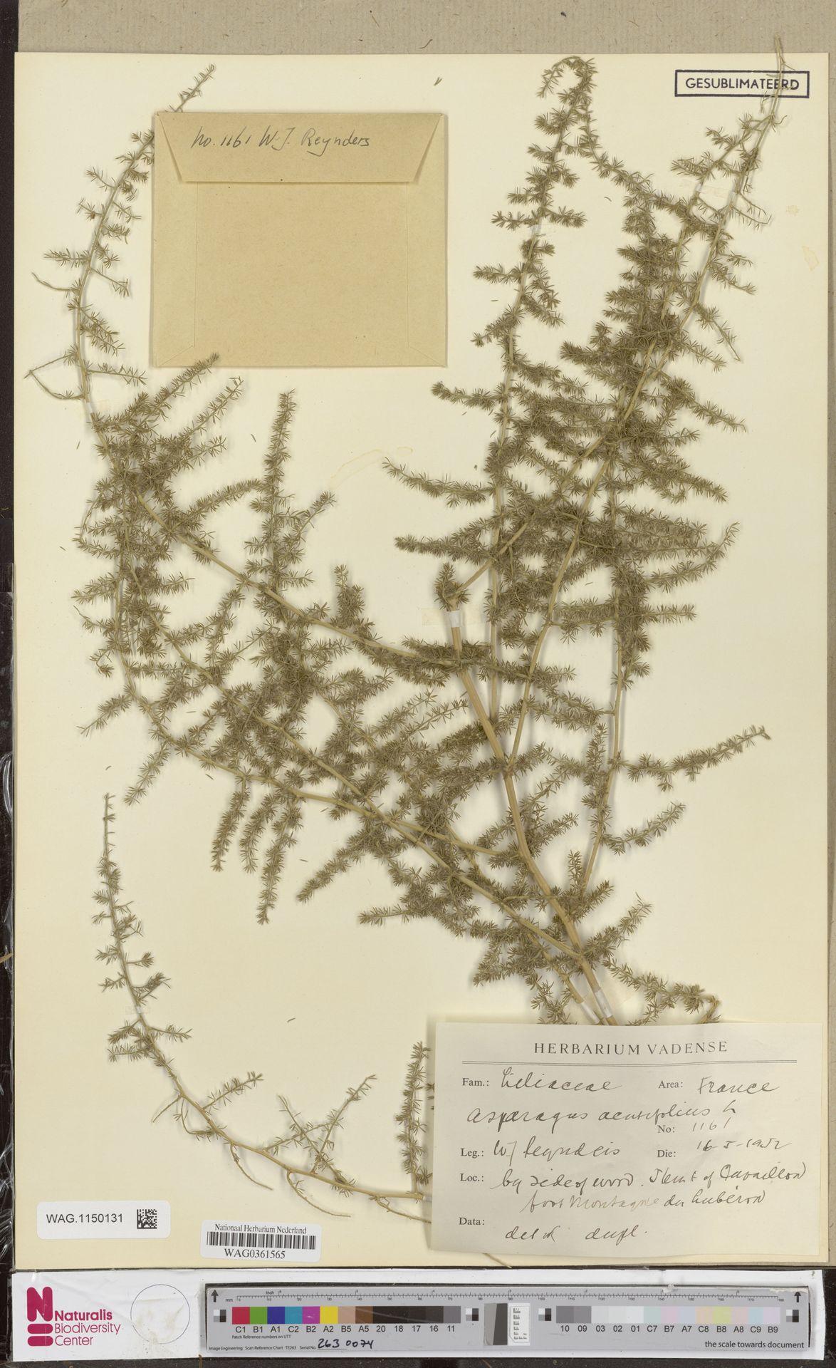 WAG.1150131 | Asparagus acutifolius L.