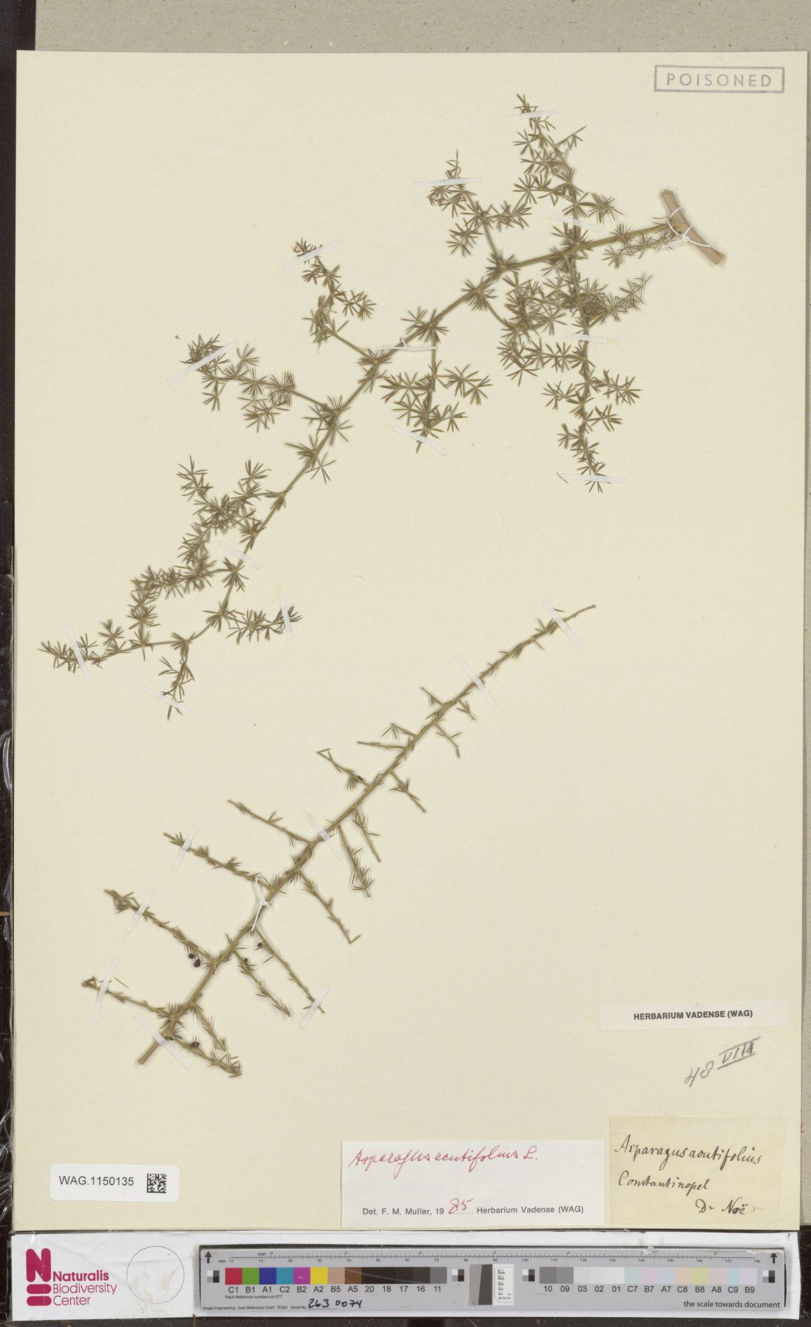 WAG.1150135 | Asparagus acutifolius L.