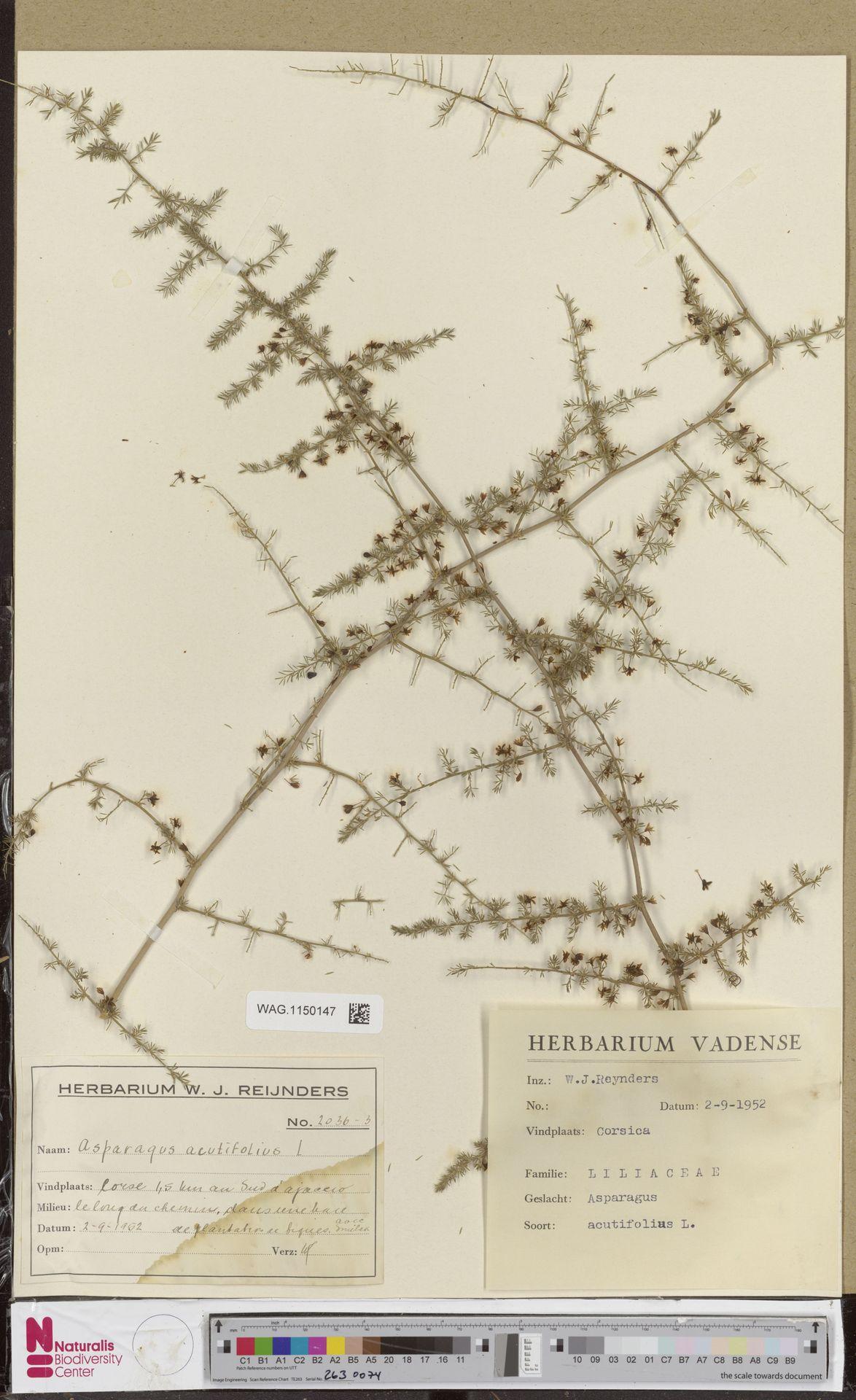 WAG.1150147 | Asparagus acutifolius L.