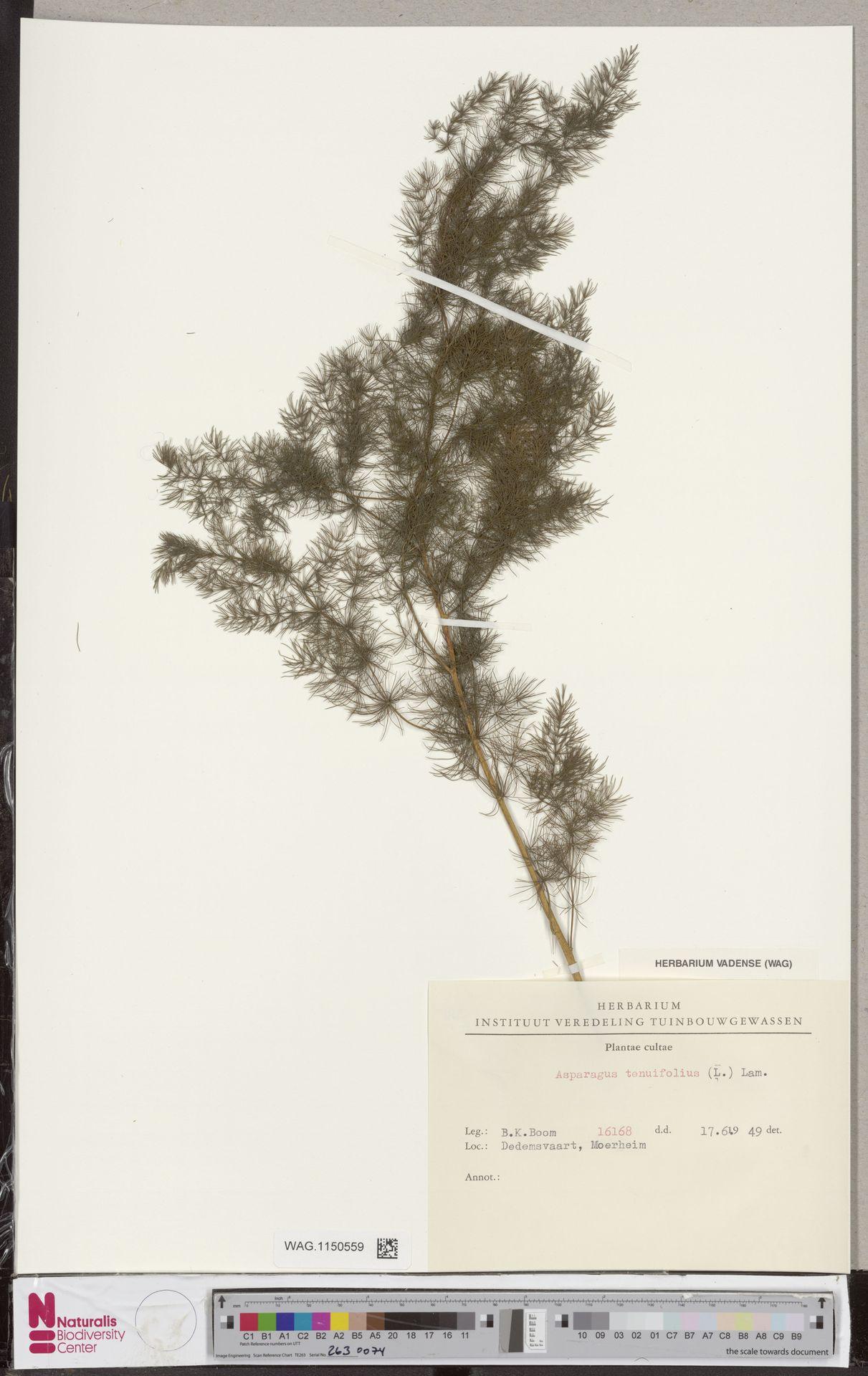 WAG.1150559 | Asparagus tenuifolius Lam.