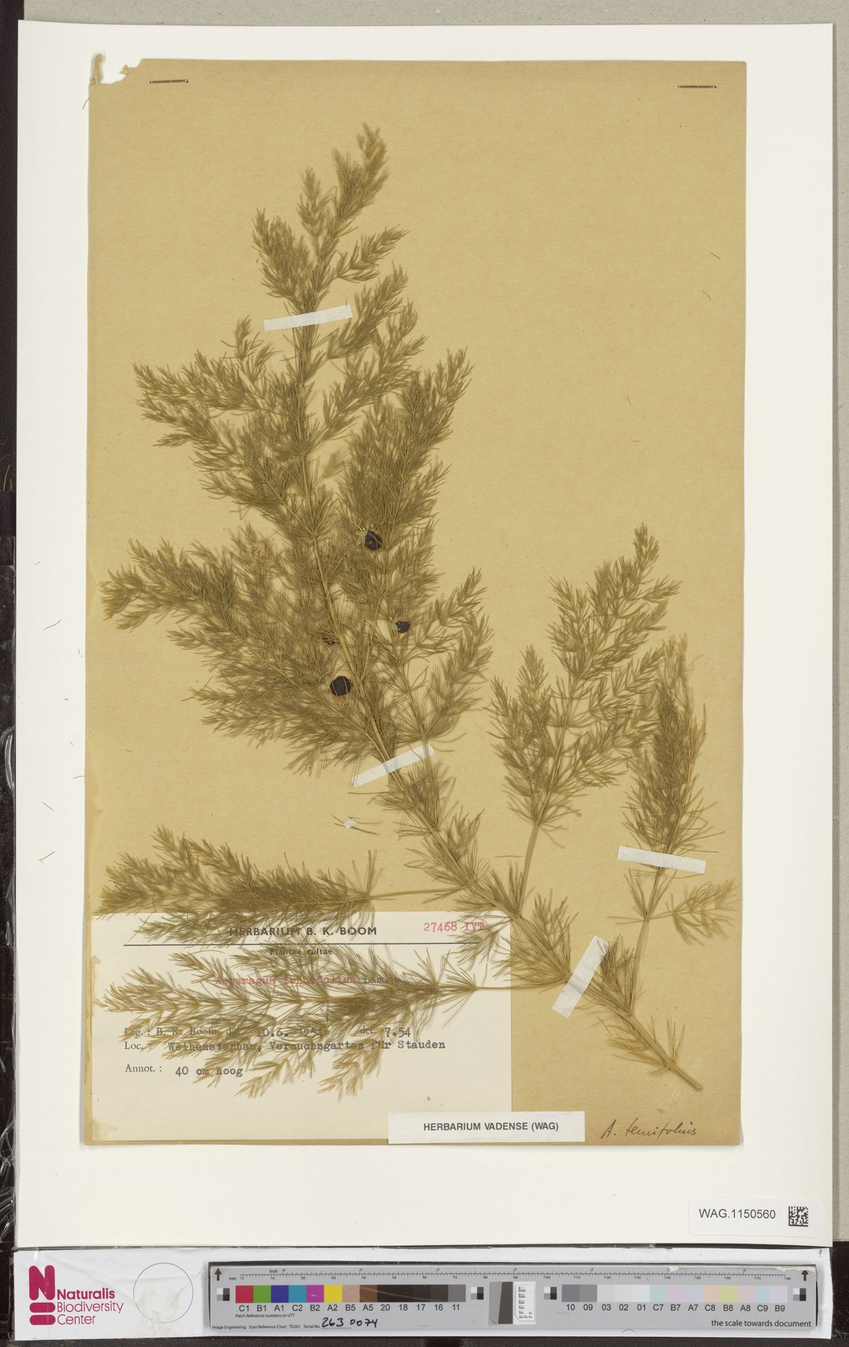 WAG.1150560 | Asparagus tenuifolius Lam.