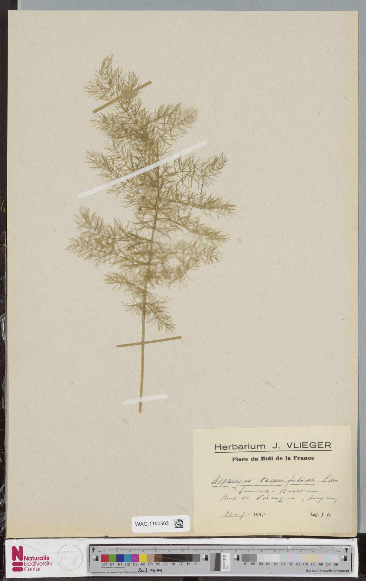 WAG.1150562 | Asparagus tenuifolius Lam.