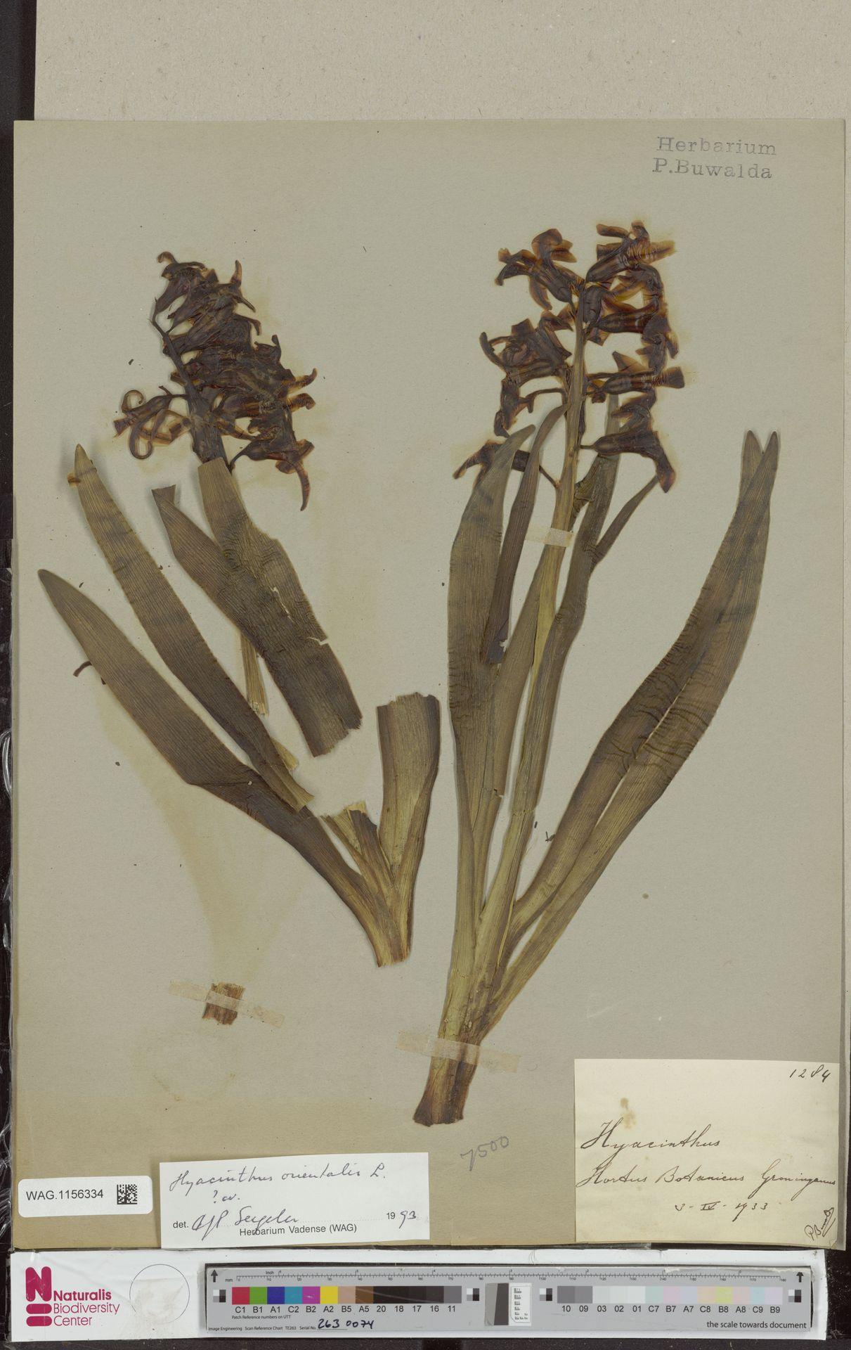 WAG.1156334   Hyacinthus orientalis L.