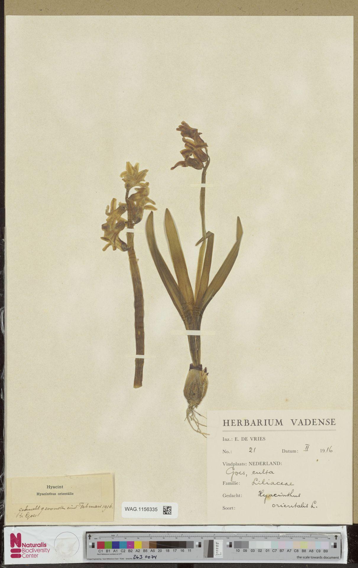 WAG.1156335 | Hyacinthus orientalis L.