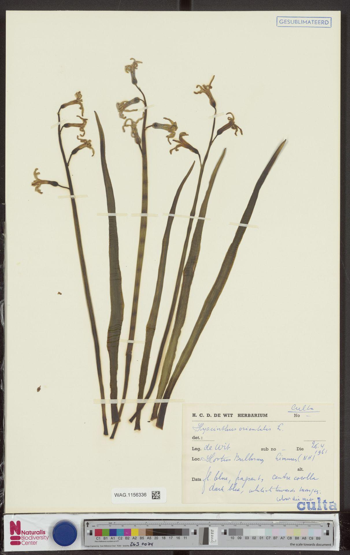 WAG.1156336 | Hyacinthus orientalis L.