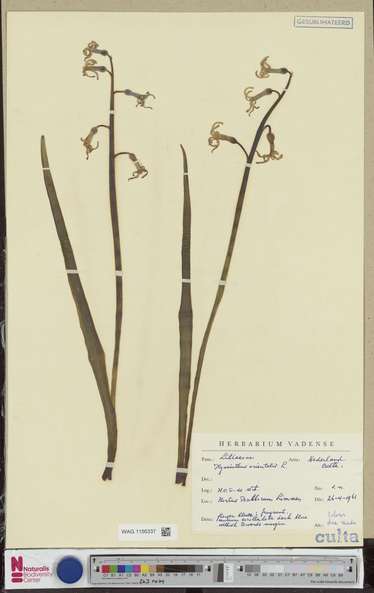 WAG.1156337 | Hyacinthus orientalis L.
