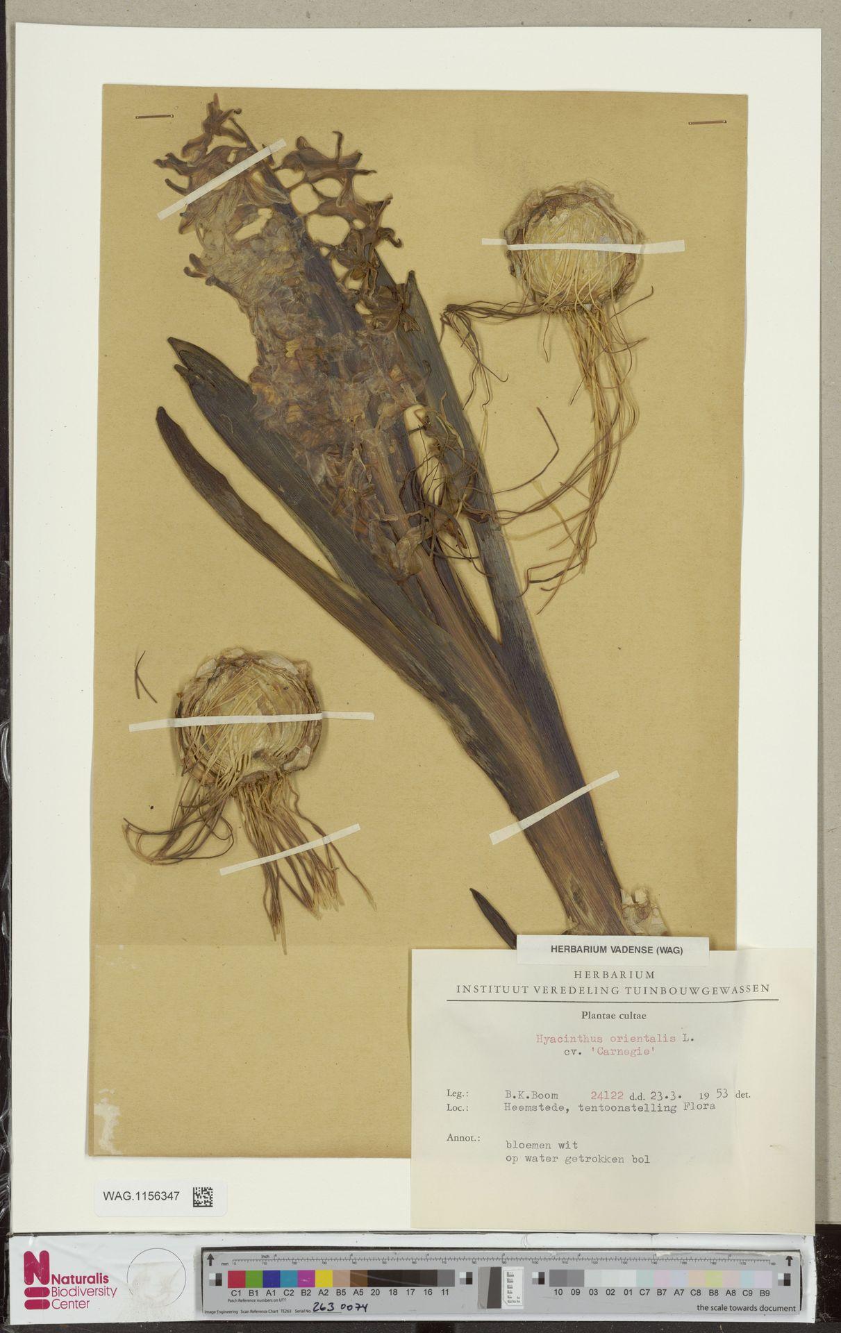WAG.1156347 | Hyacinthus orientalis L.