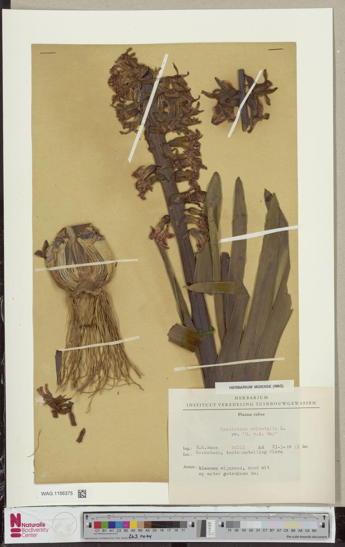 WAG.1156375 | Hyacinthus orientalis cv. 'G.v.d. Mey'