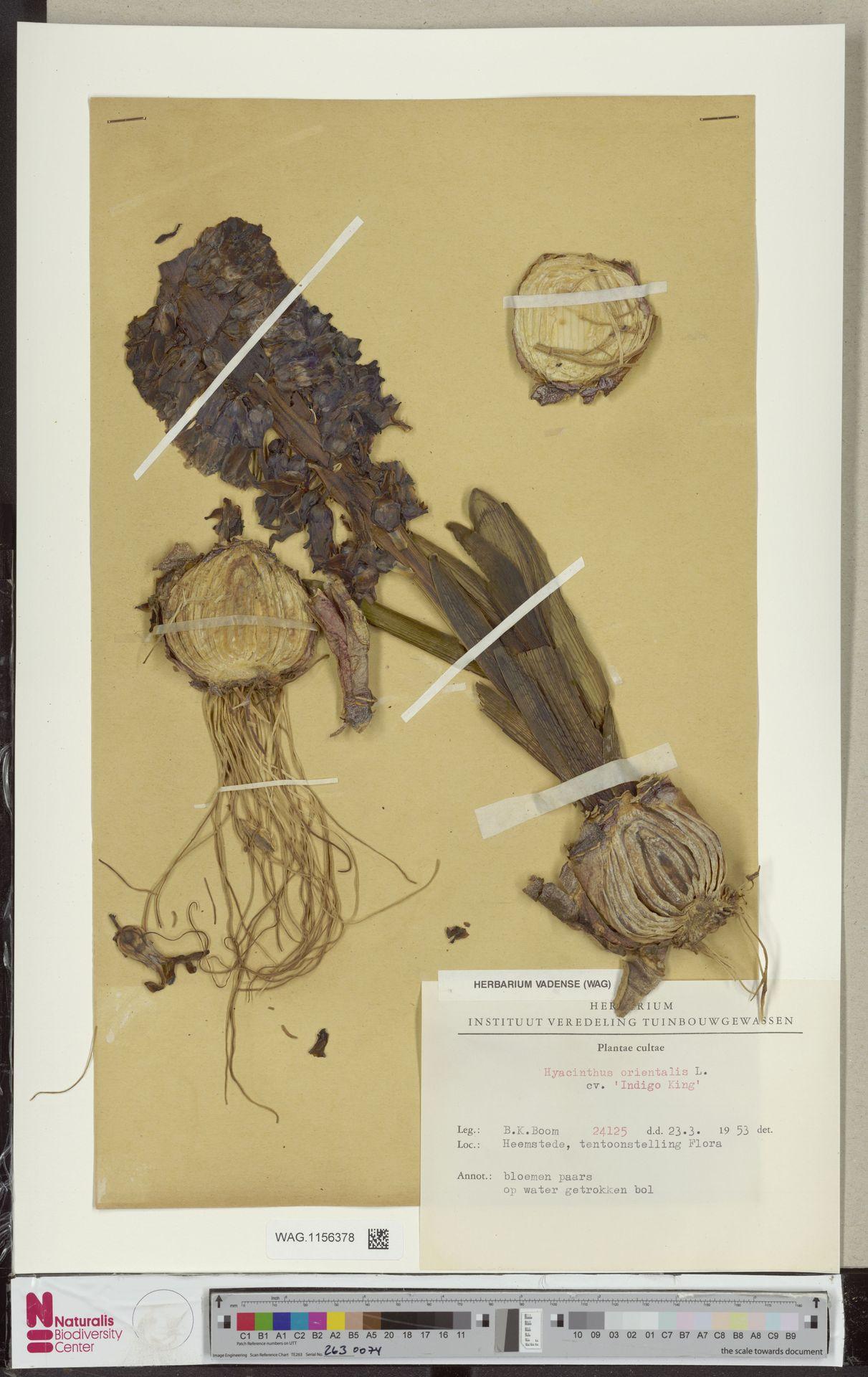 WAG.1156378 | Hyacinthus orientalis cv. 'Indigo King'