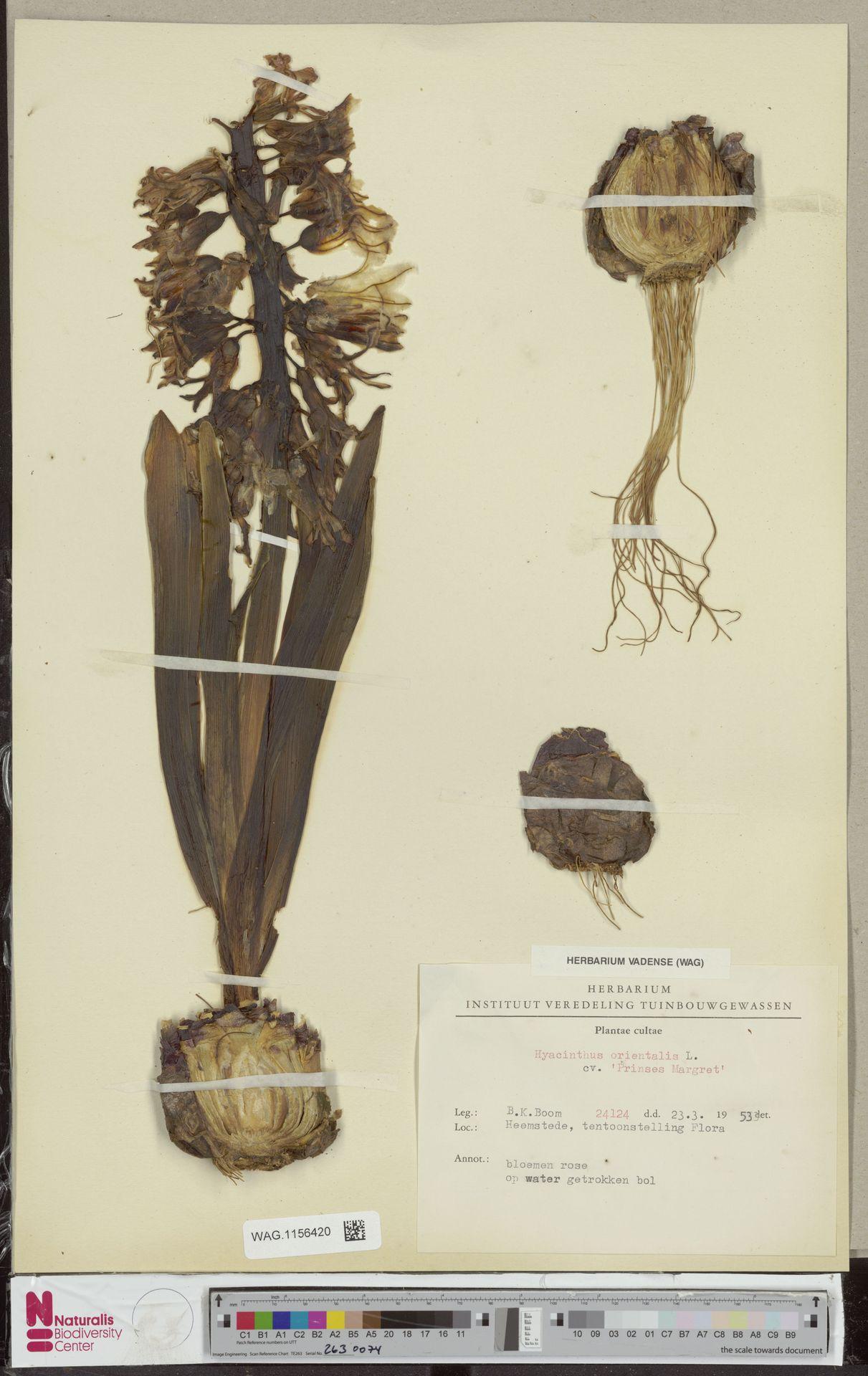 WAG.1156420 | Hyacinthus orientalis cv. 'Prinses Margret'