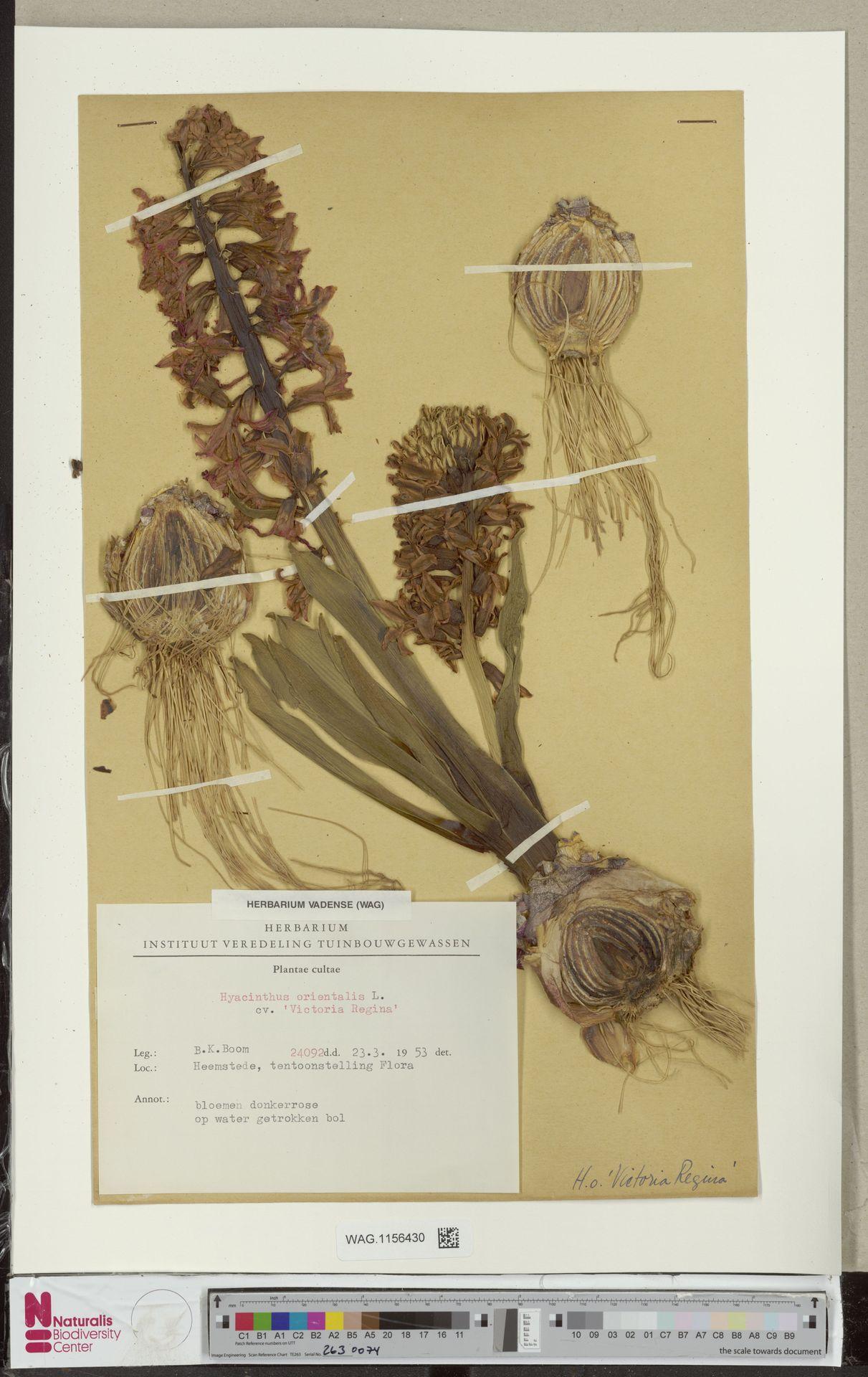 WAG.1156430 | Hyacinthus orientalis cv. 'Victoria Regina'