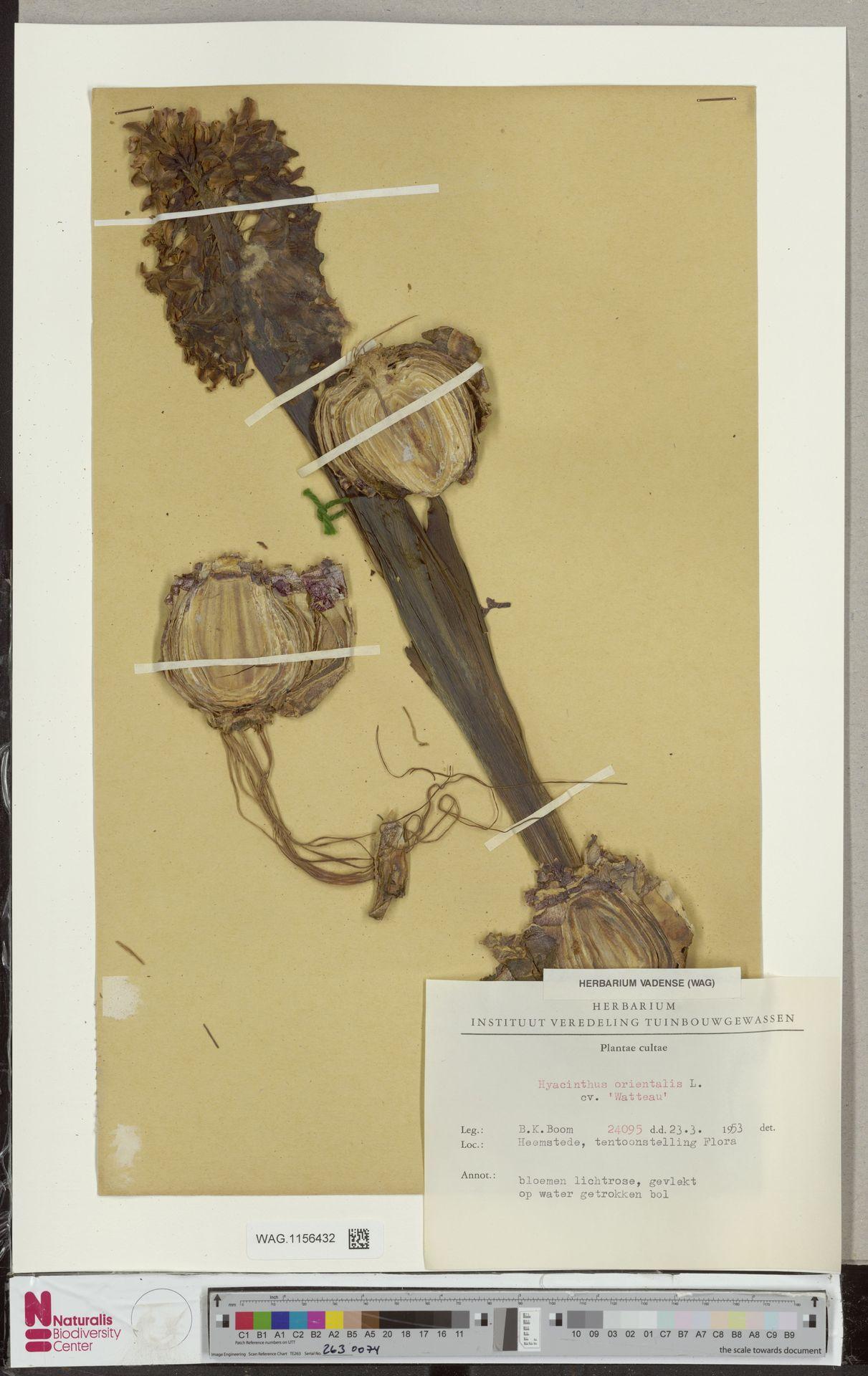 WAG.1156432 | Hyacinthus orientalis cv. 'Watteau'