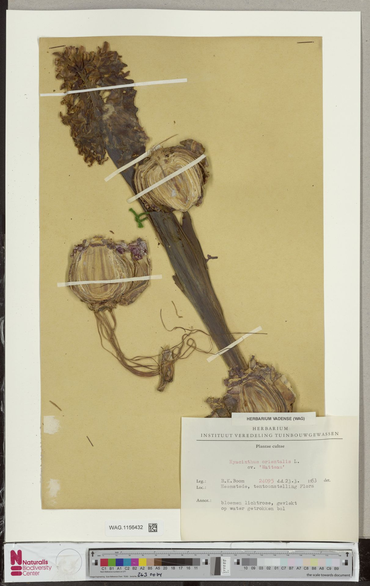 WAG.1156432 | Hyacinthus orientalis L.