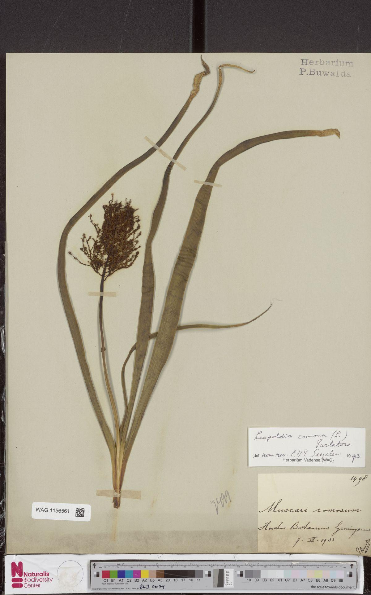 WAG.1156561 | Leopoldia comosa (L.) Parl.