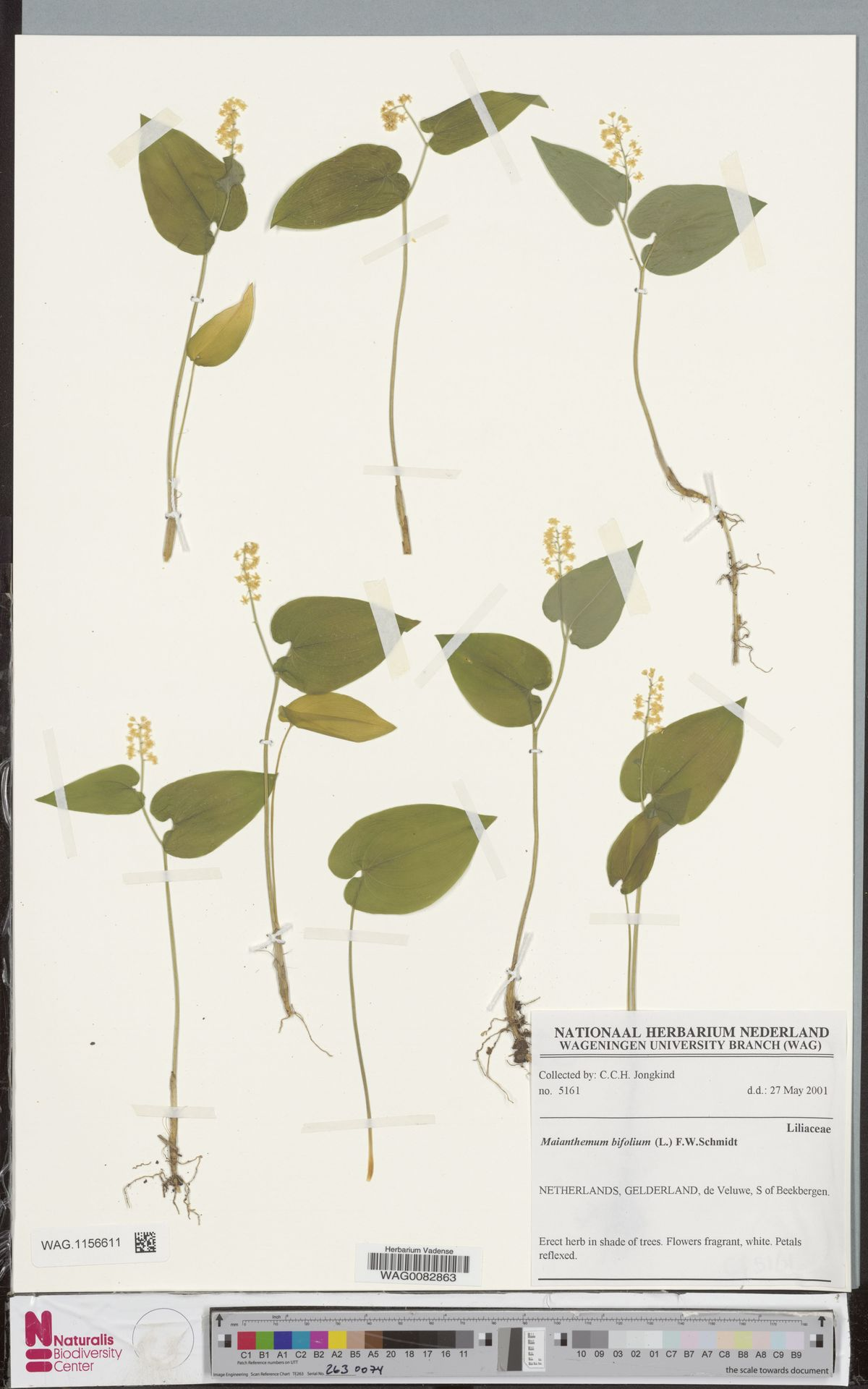 WAG.1156611 | Maianthemum bifolium (L.) F.W.Schmidt