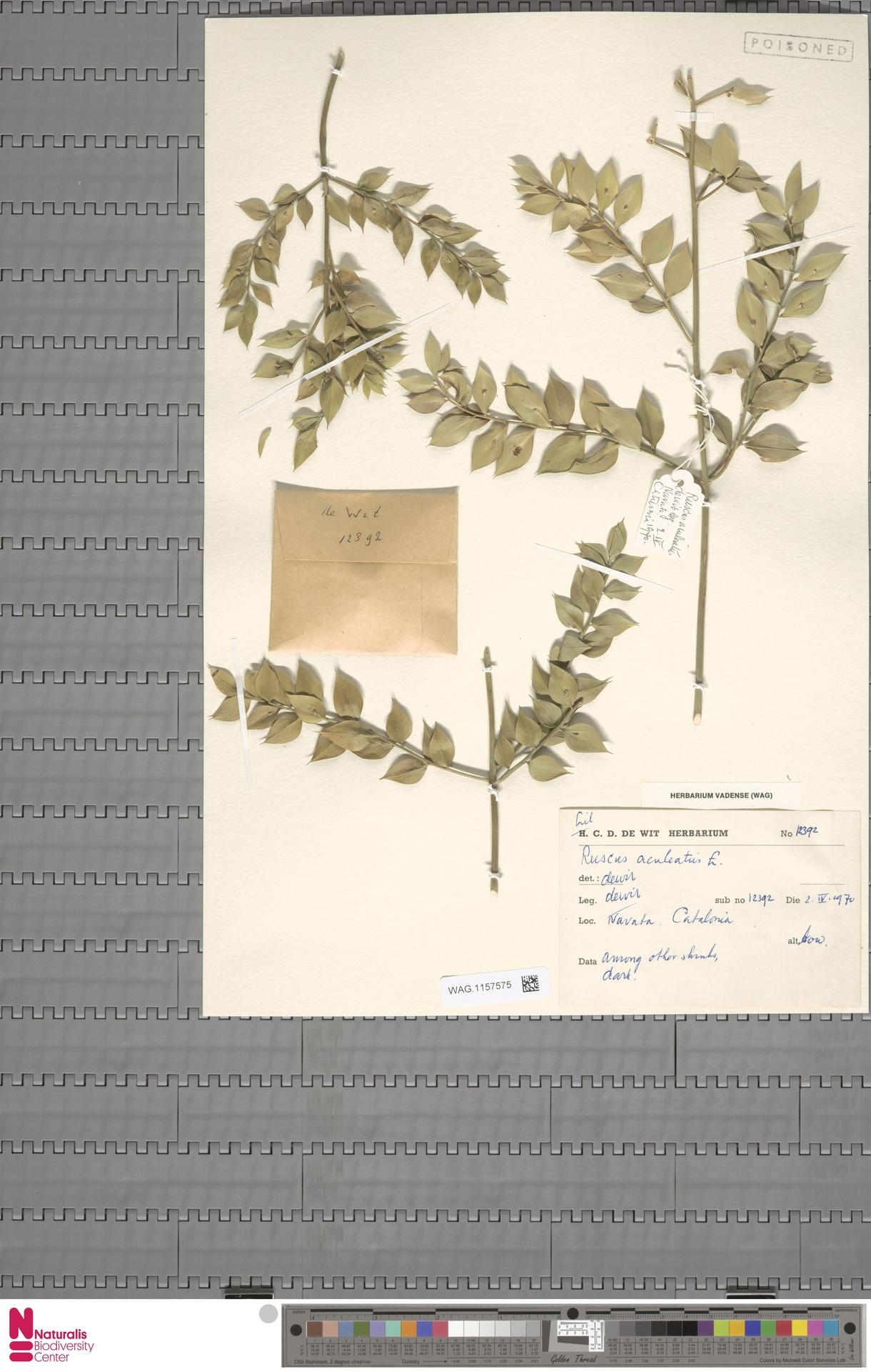 WAG.1157575 | Ruscus aculeatus L.