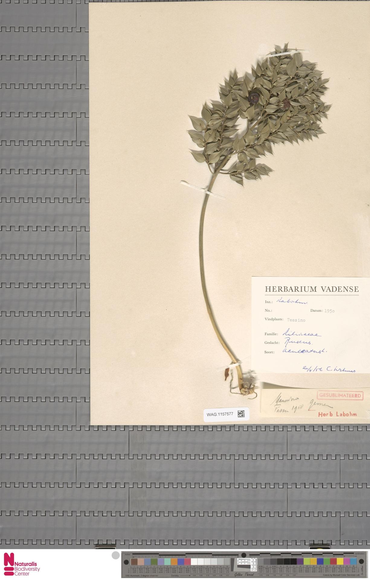 WAG.1157577   Ruscus aculeatus L.