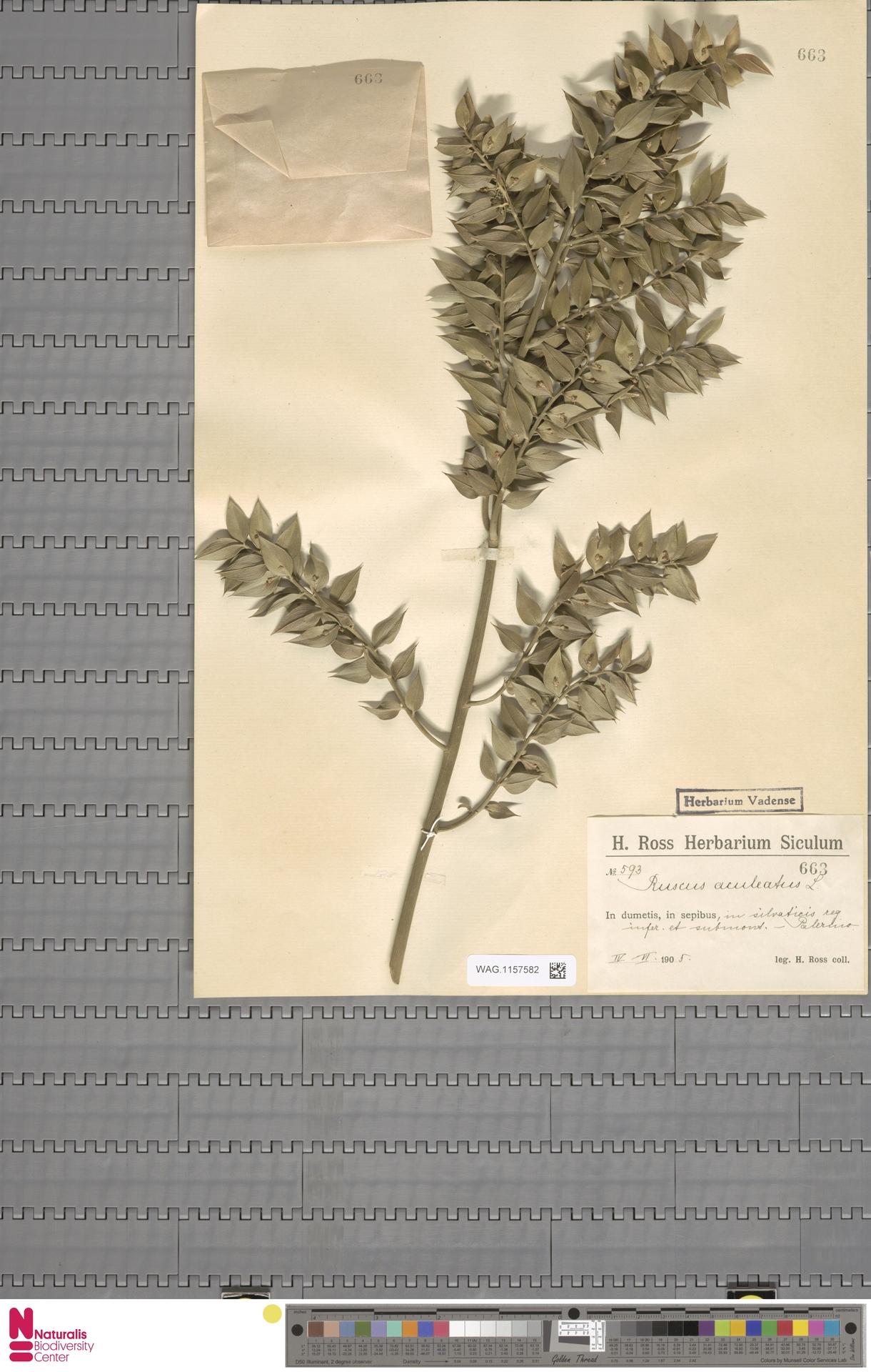 WAG.1157582   Ruscus aculeatus L.