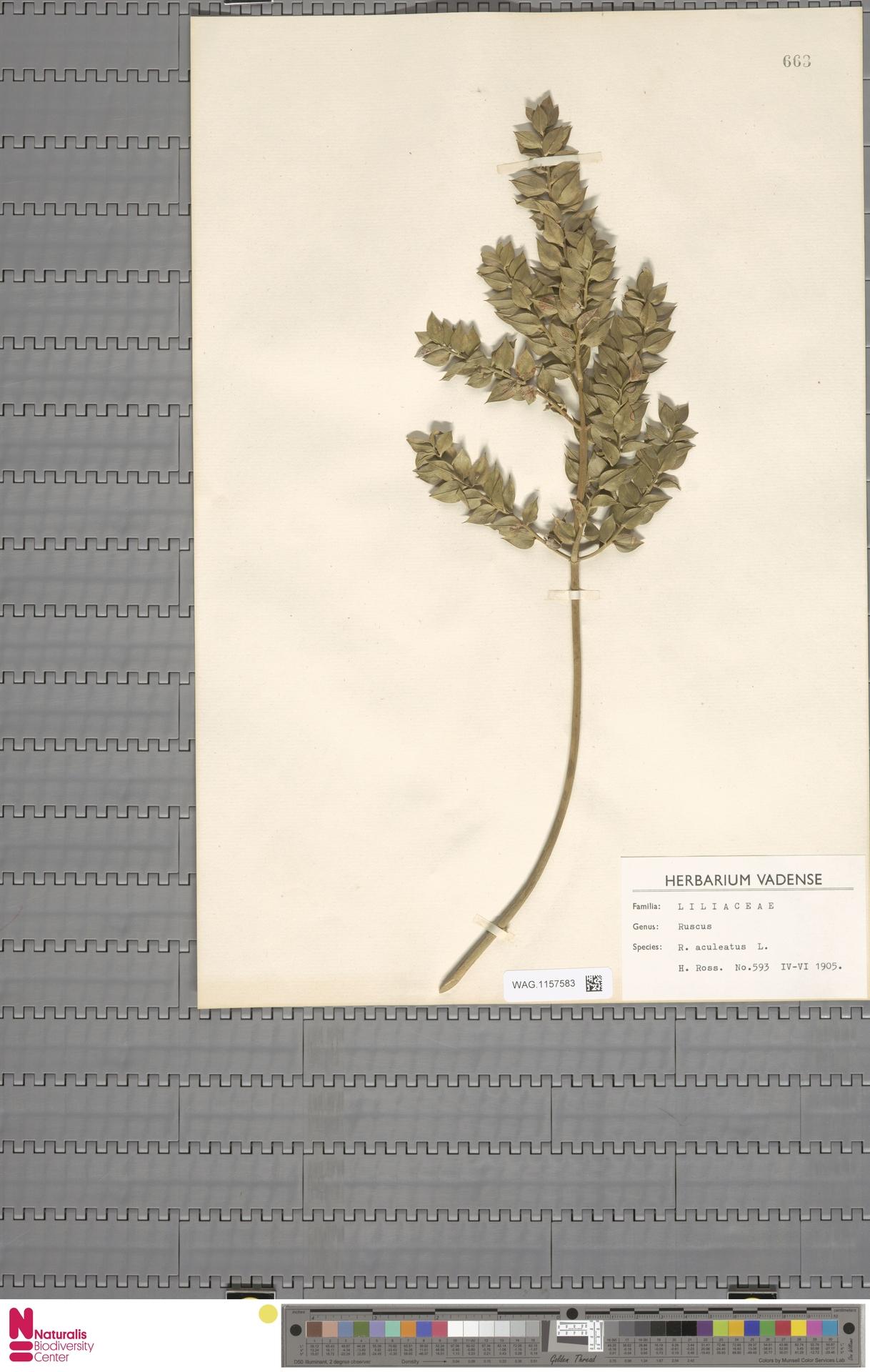 WAG.1157583 | Ruscus aculeatus L.