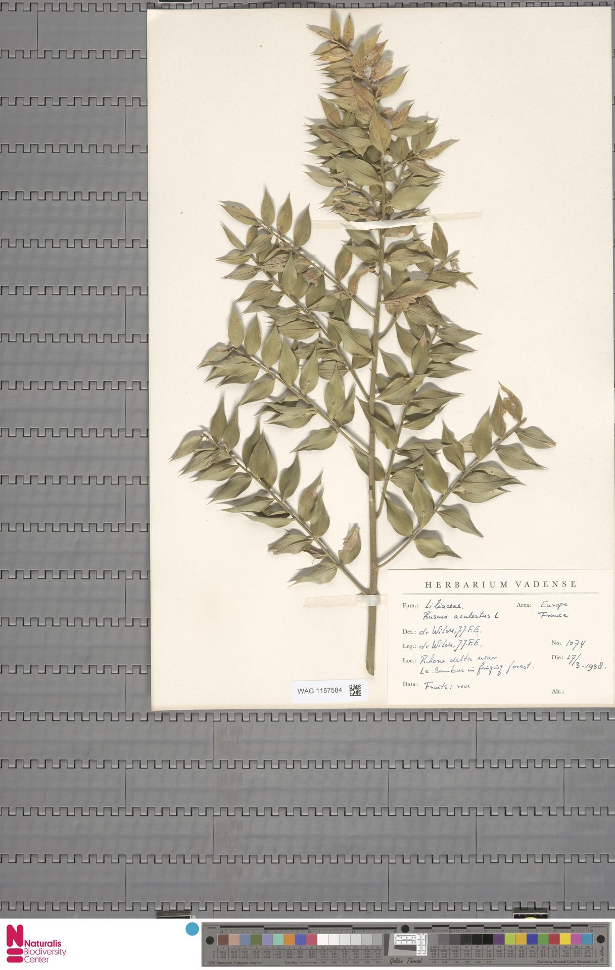 WAG.1157584 | Ruscus aculeatus L.