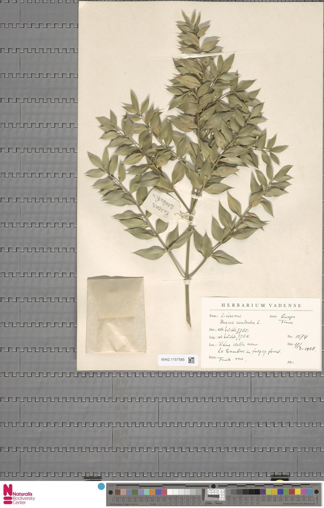 WAG.1157585 | Ruscus aculeatus L.