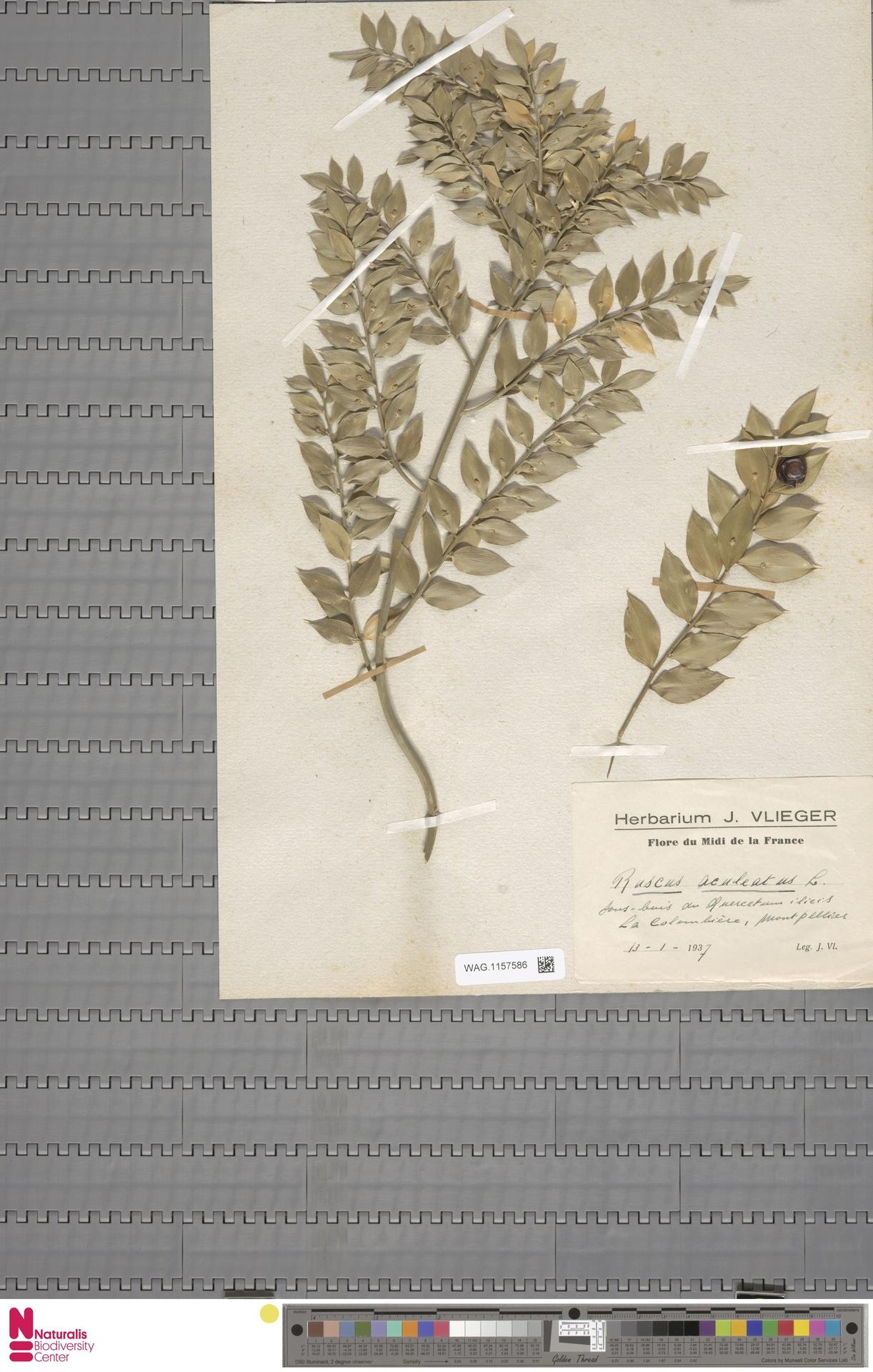 WAG.1157586   Ruscus aculeatus L.