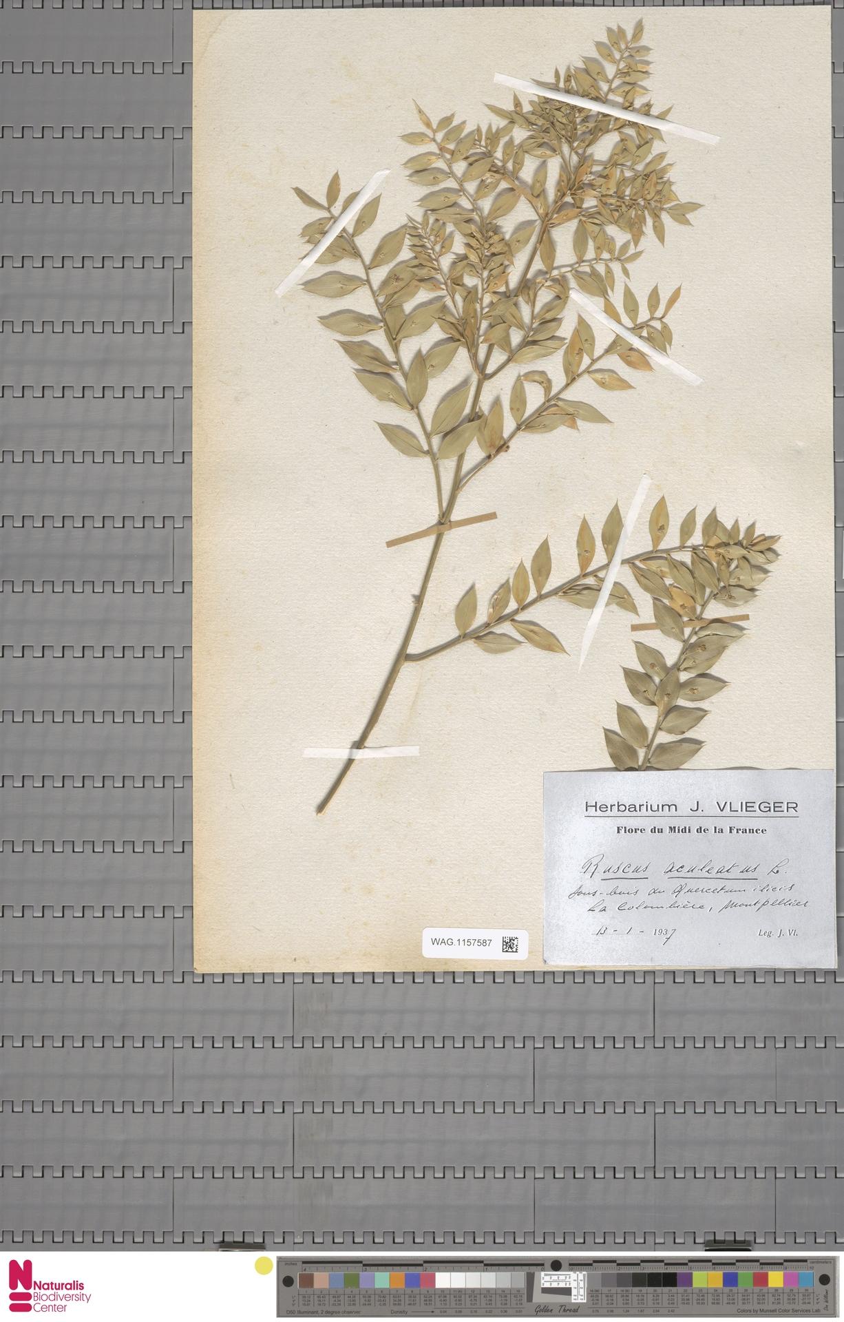WAG.1157587 | Ruscus aculeatus L.