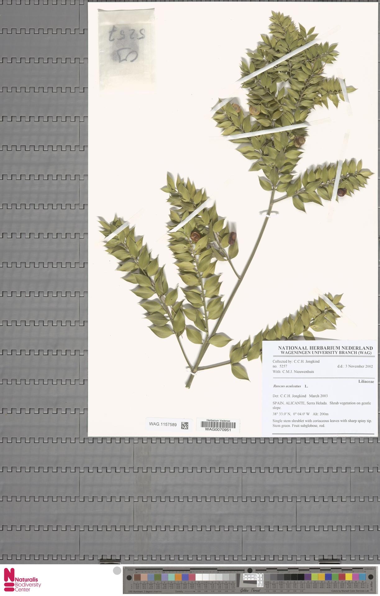 WAG.1157589 | Ruscus aculeatus L.