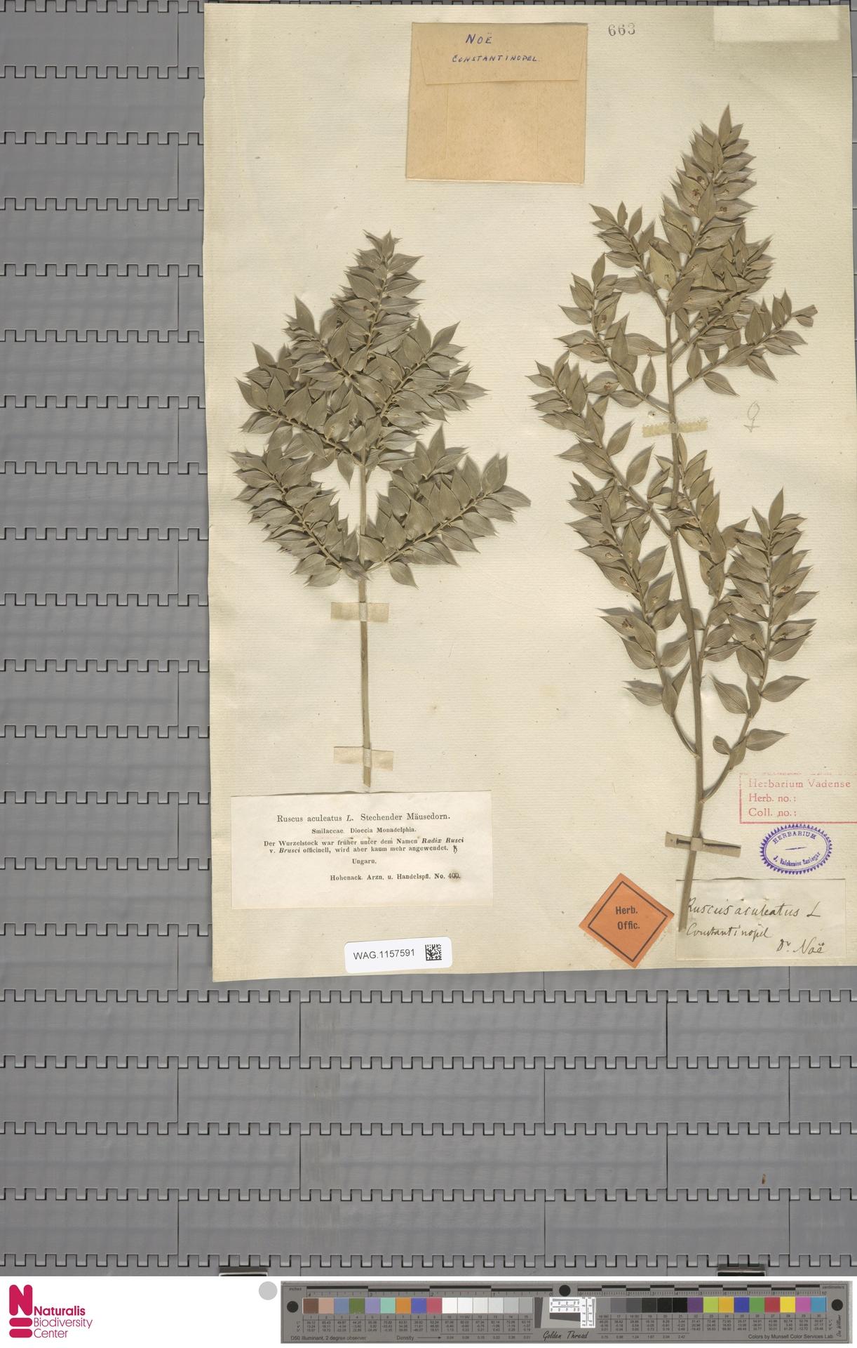 WAG.1157591 | Ruscus aculeatus L.