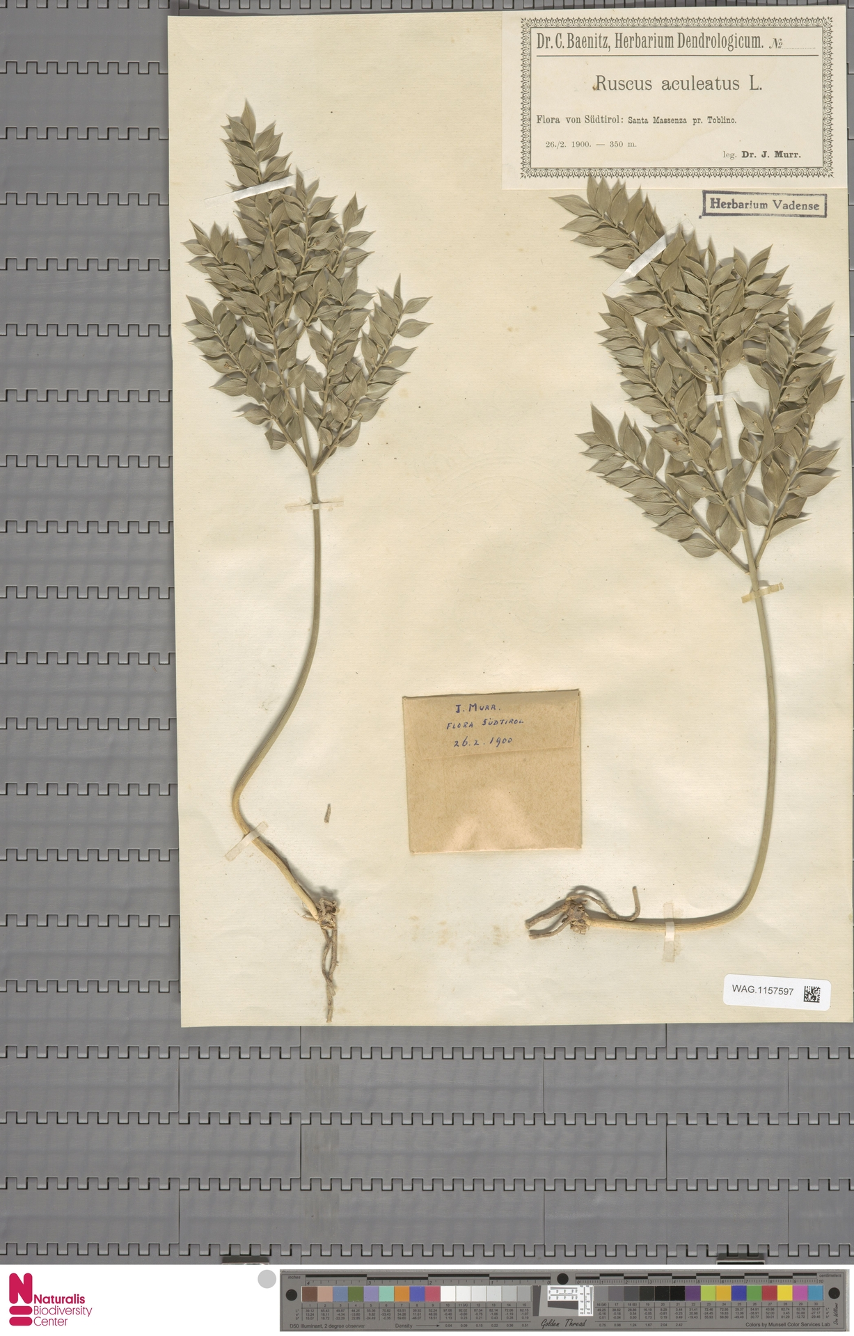 WAG.1157597   Ruscus aculeatus L.