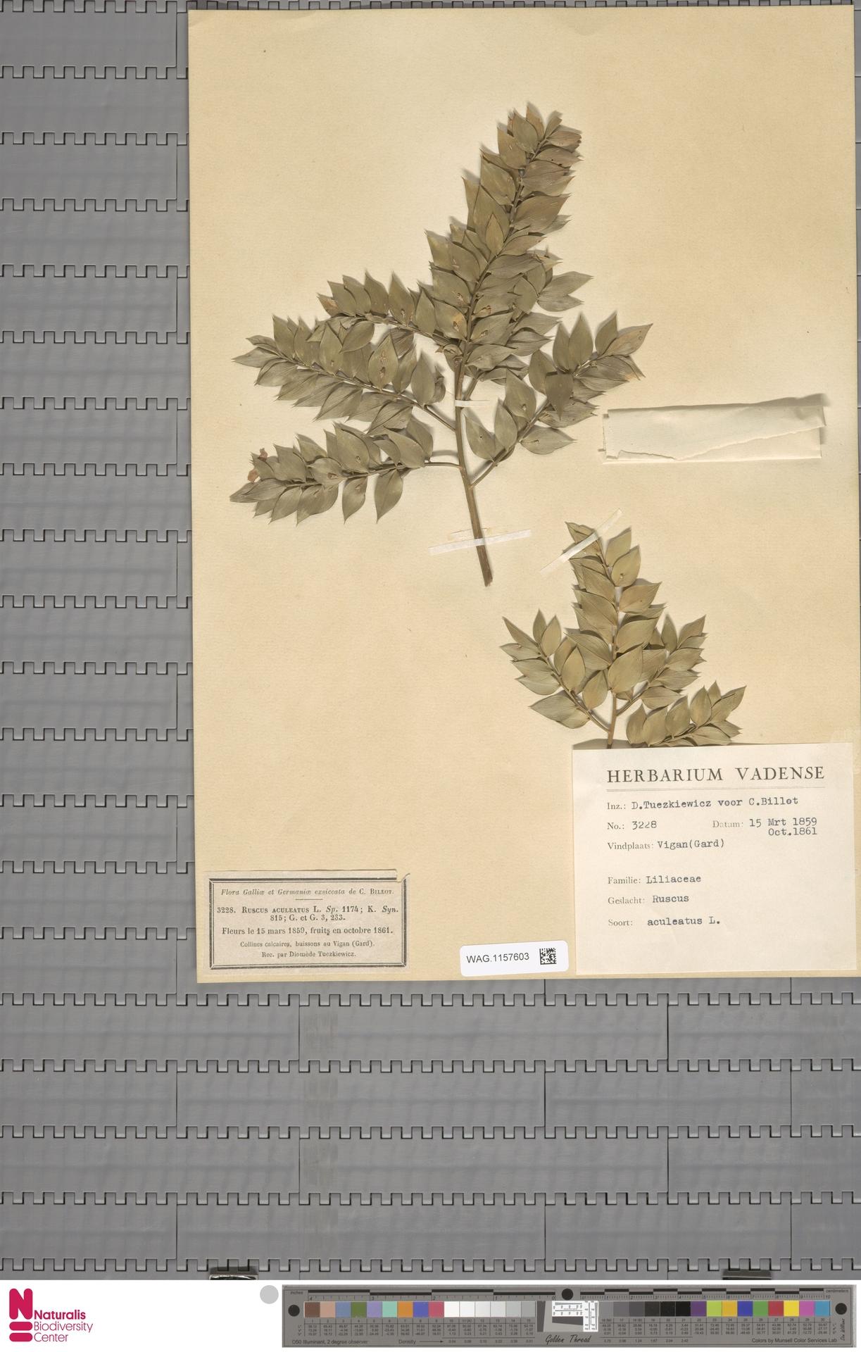 WAG.1157603 | Ruscus aculeatus L.