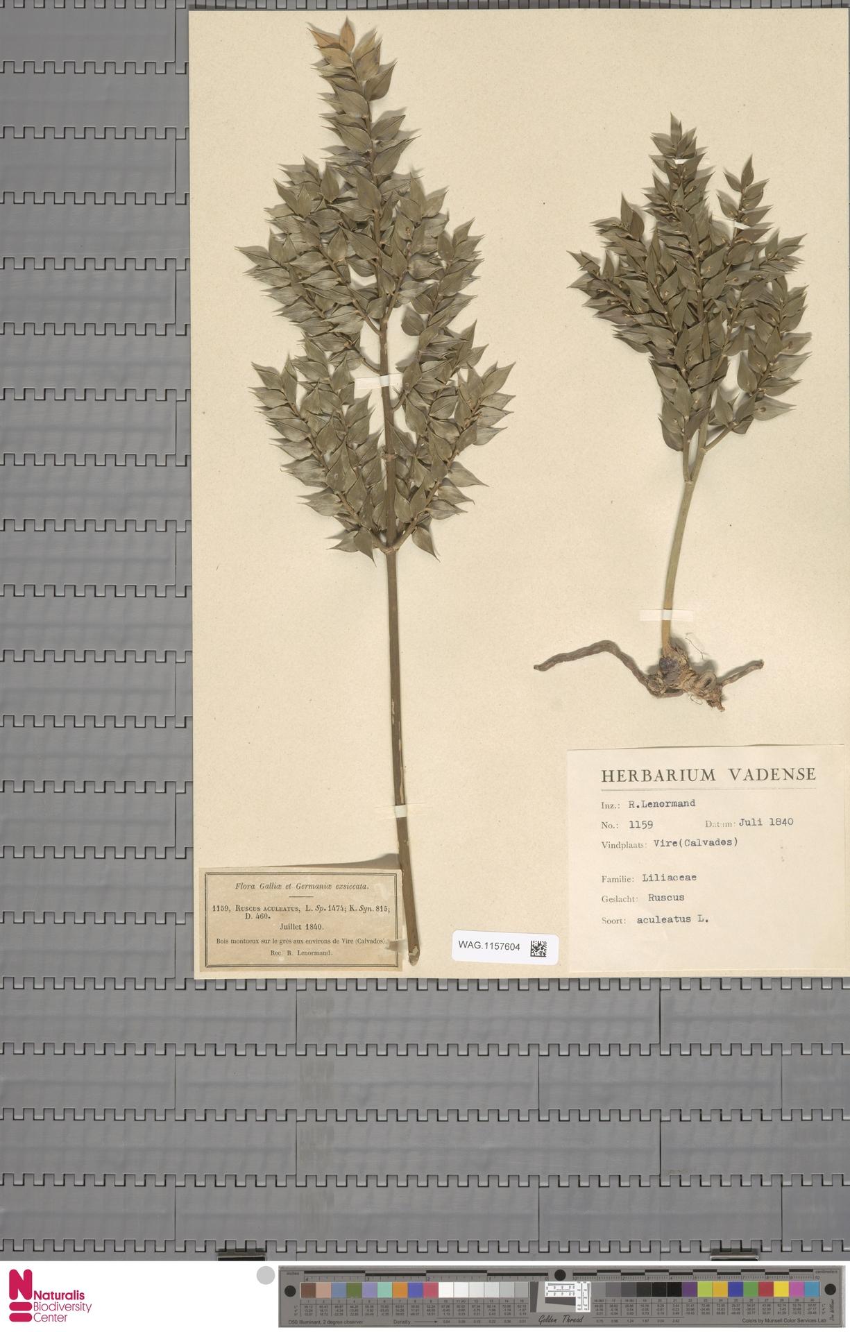 WAG.1157604 | Ruscus aculeatus L.