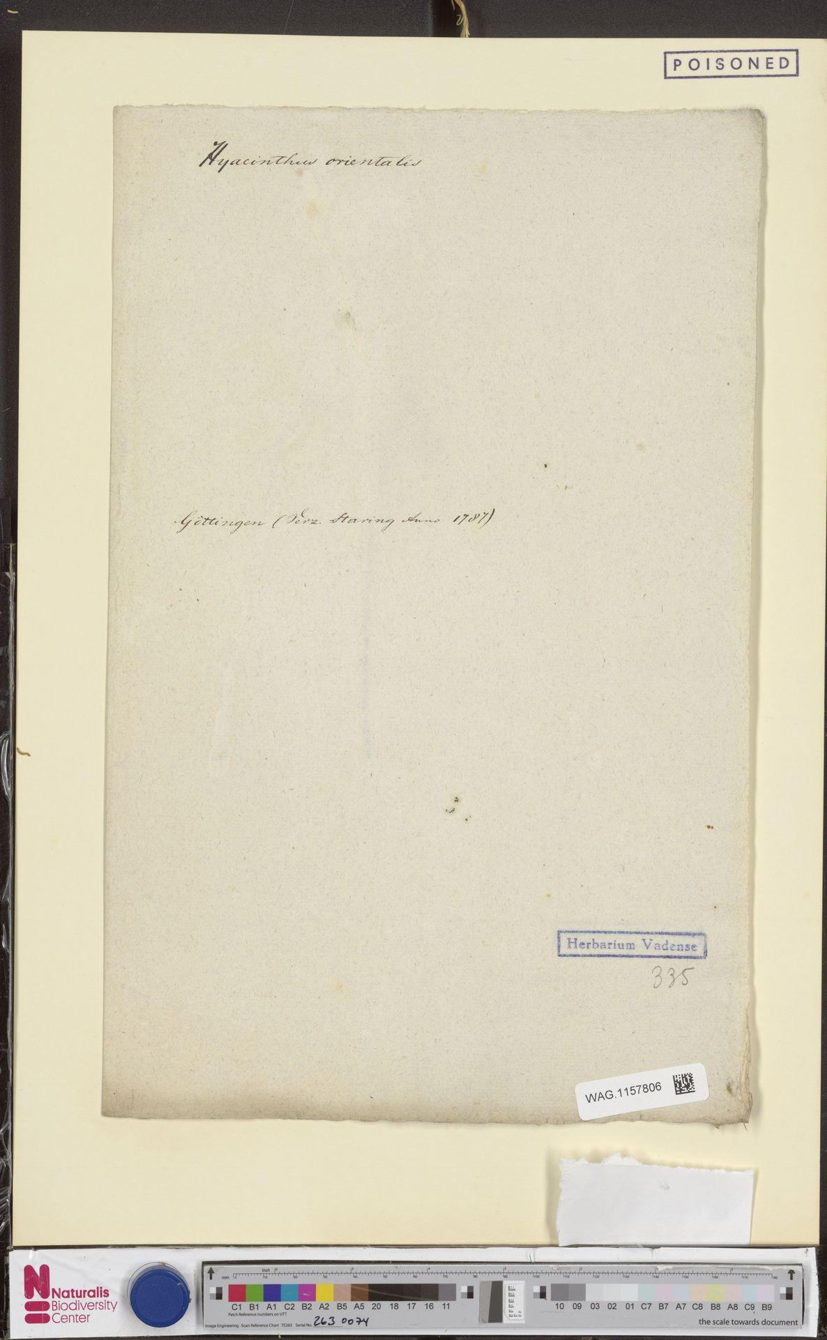 WAG.1157806 | Hyacinthus orientalis L.