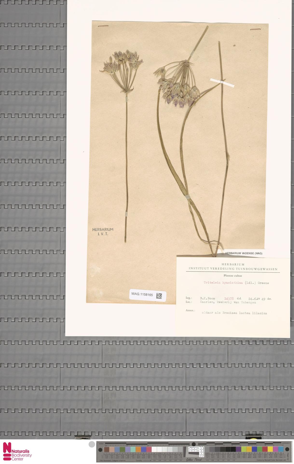 WAG.1158165 | Triteleia hyacinthina (Lindl.) Greene